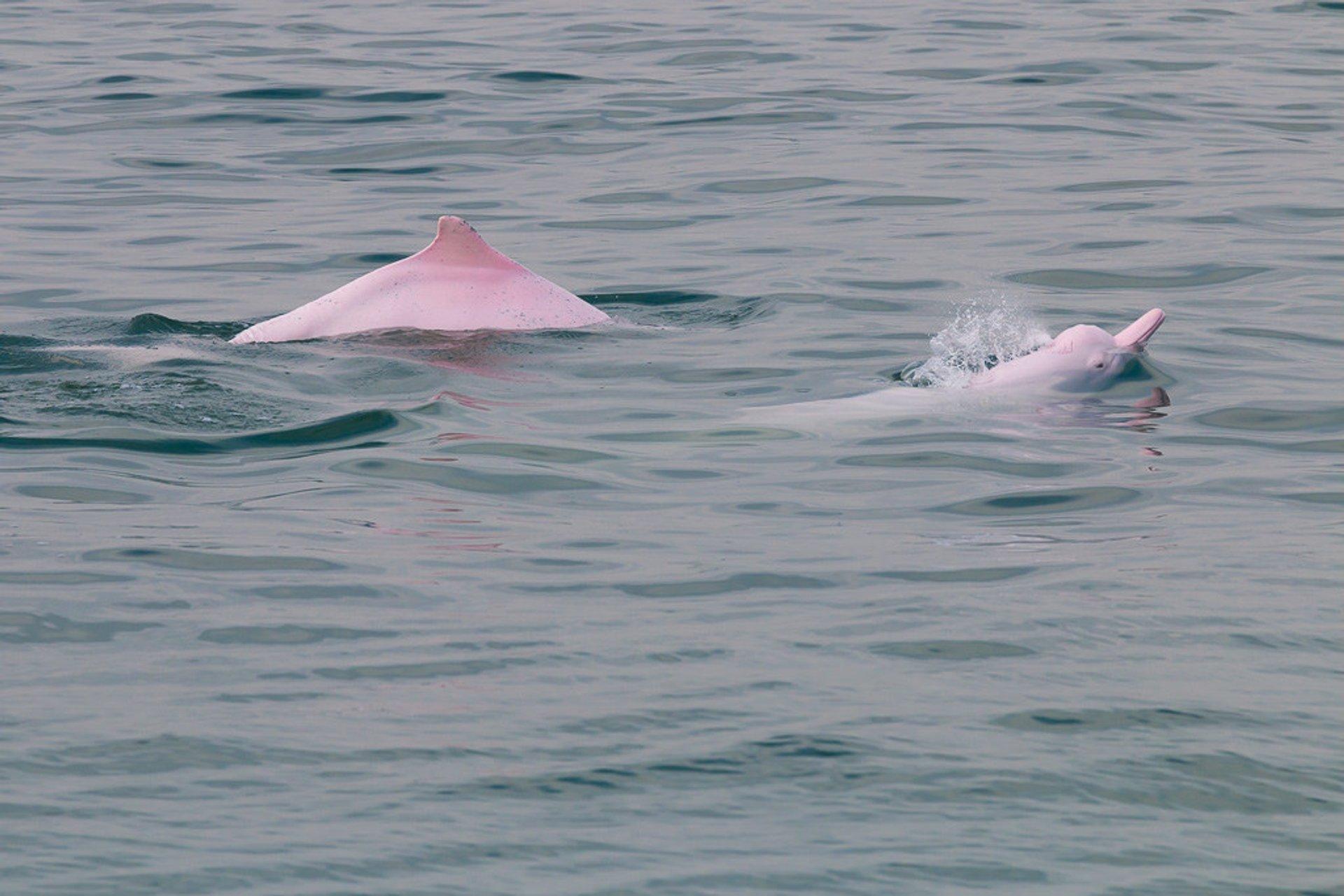 Pink Dolphin Watching in Hong Kong - Best Season