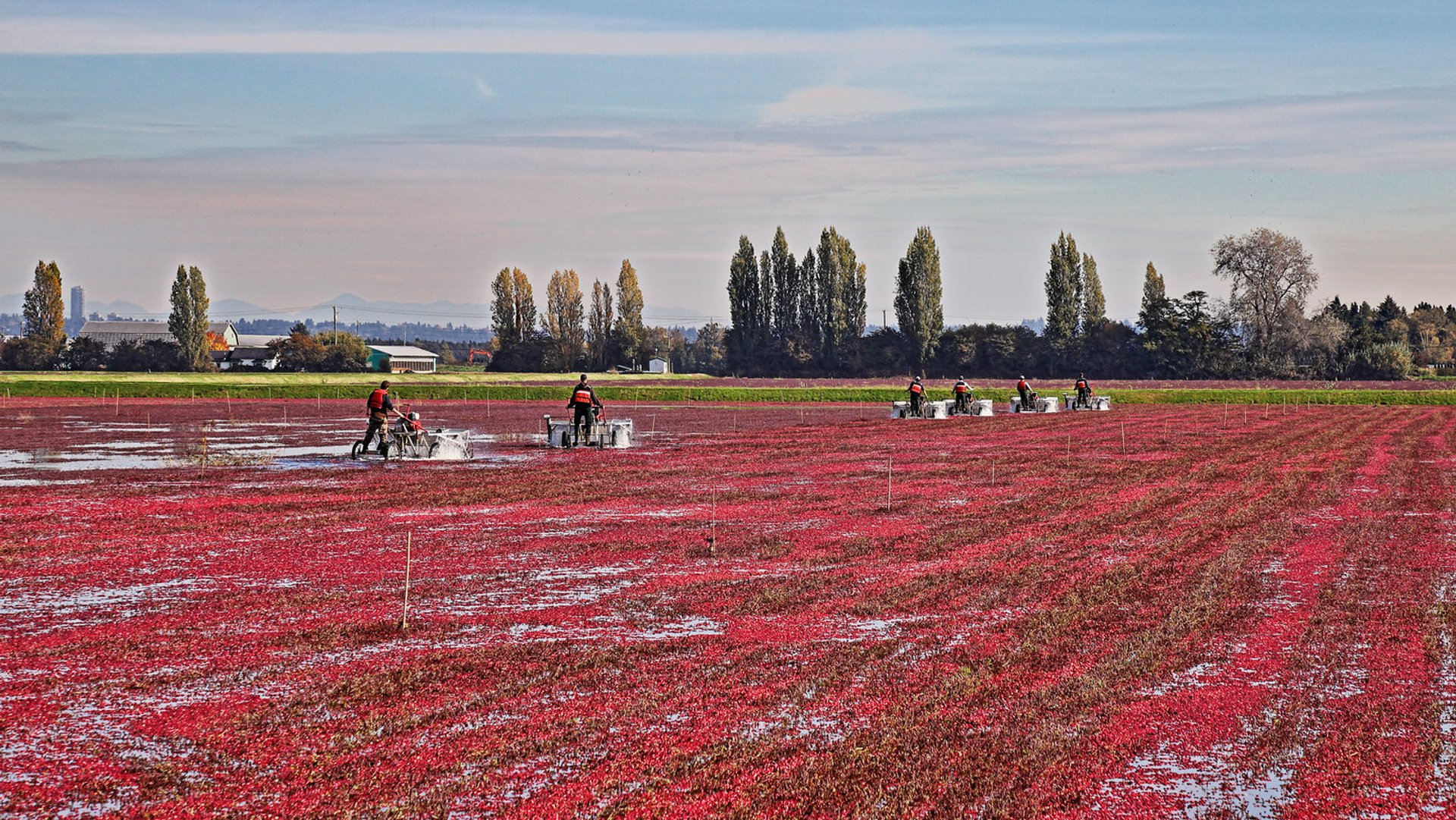Cranberry farm in Delta 2020