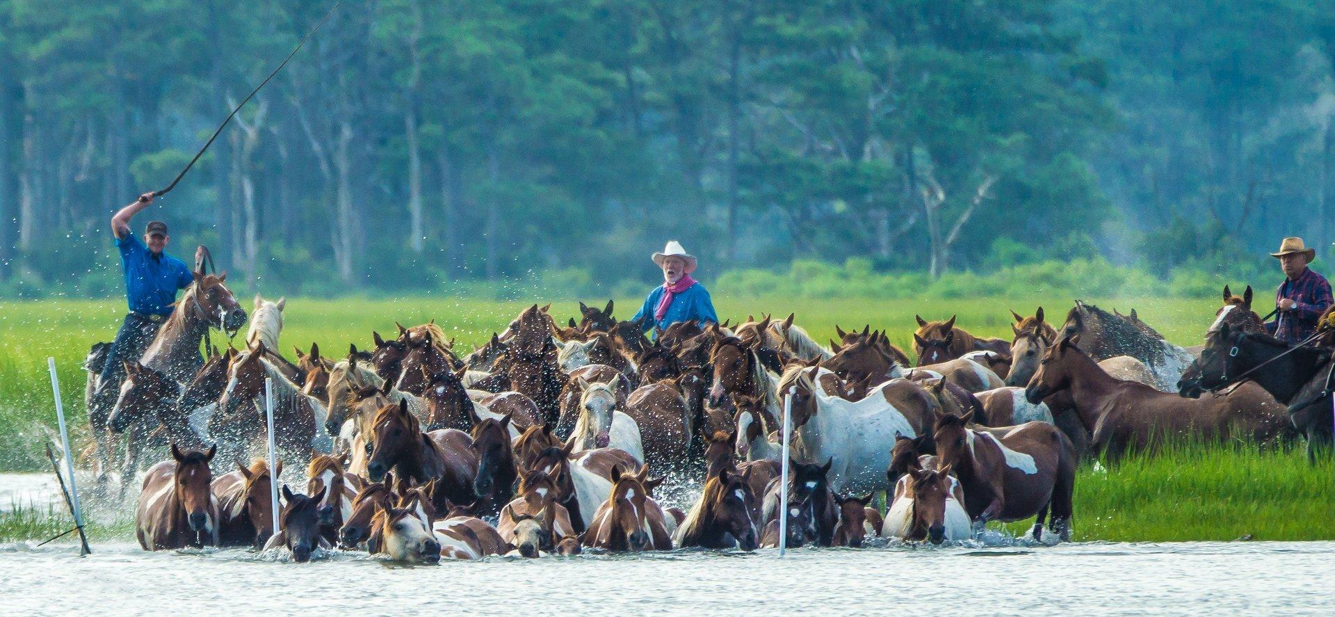 Chincoteague Pony Swim in Virginia - Best Season 2020