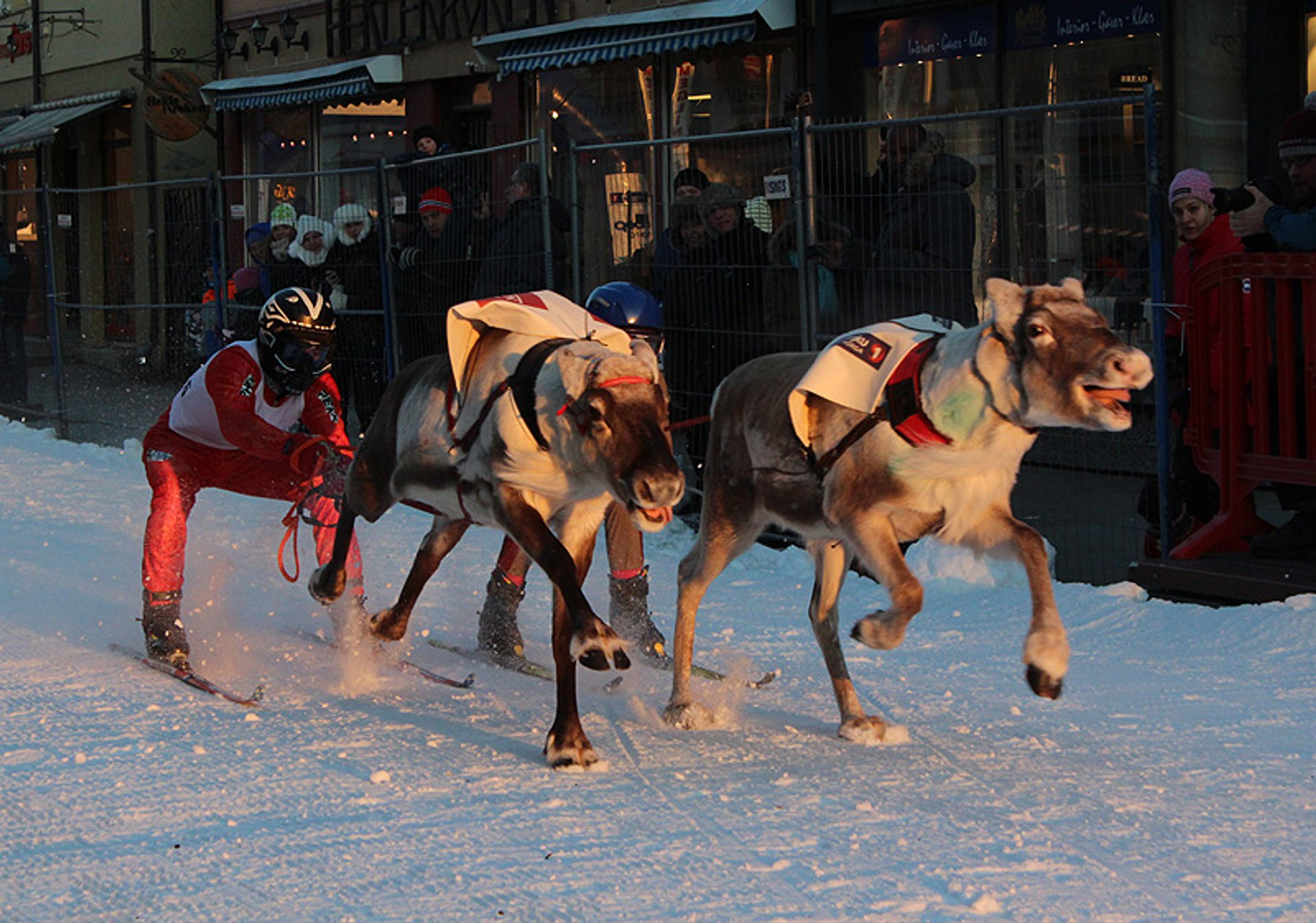 The reindeer can run up to 60 km/h. Reindeer racing in Tromsø is the right place to check whether it's true. 2019