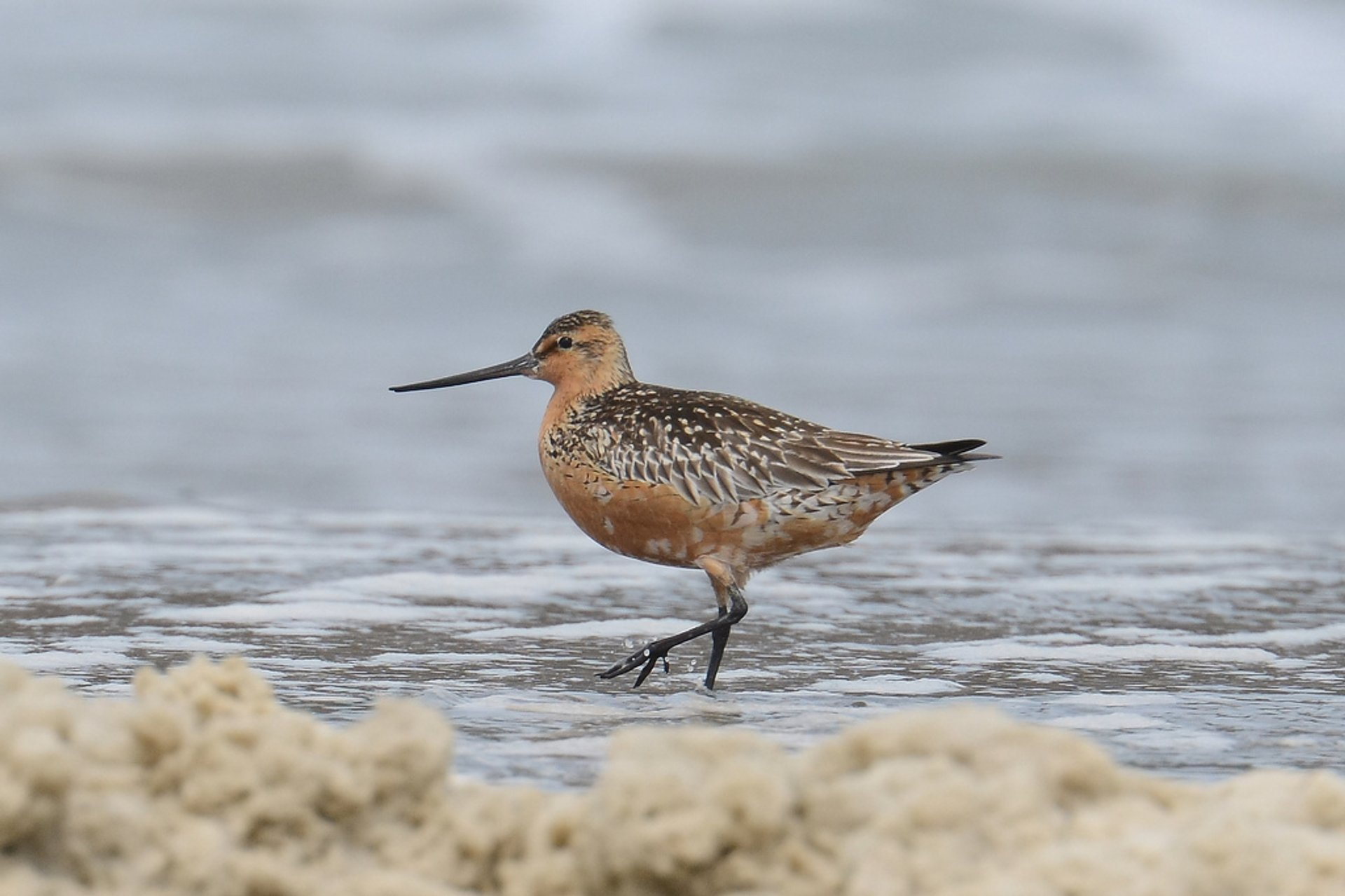 Best time for Bar-Tailed Godwits 2020