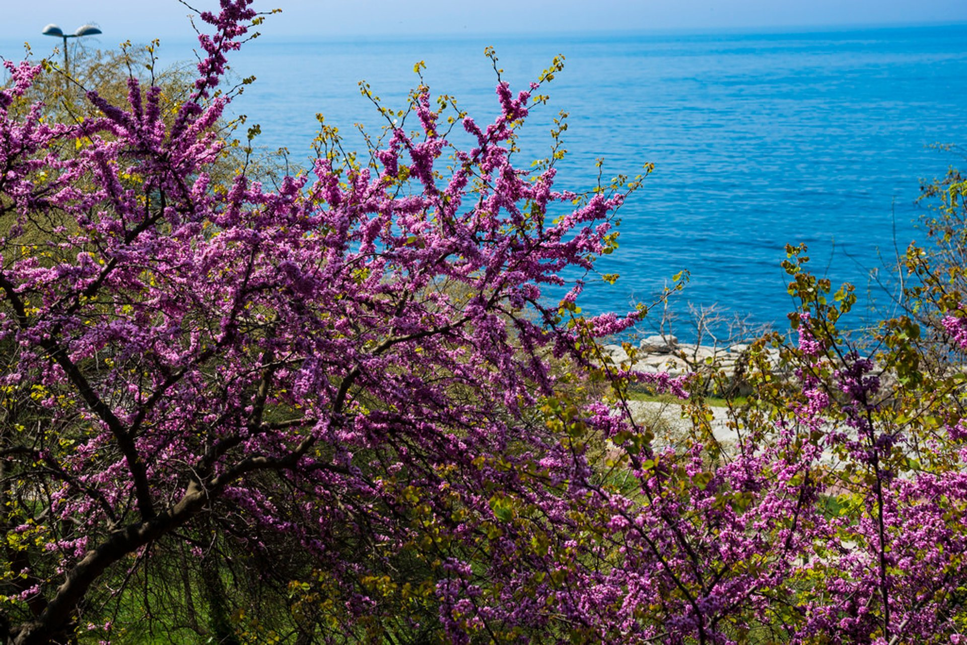 Judas Tree in Bloom in Istanbul 2020 - Best Time