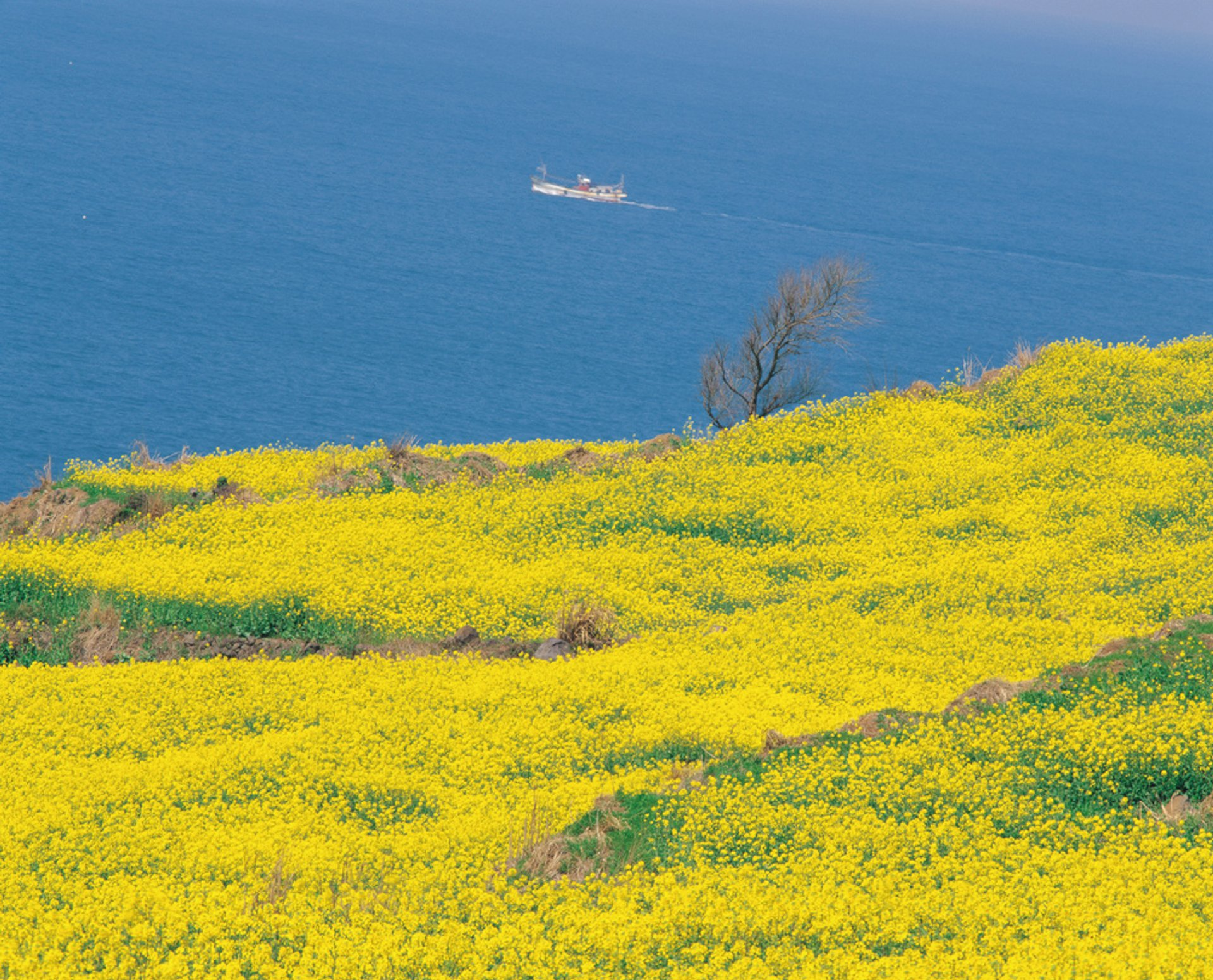 Best time to see Canola (Yuche) Bloom on Jeju Island in South Korea 2020