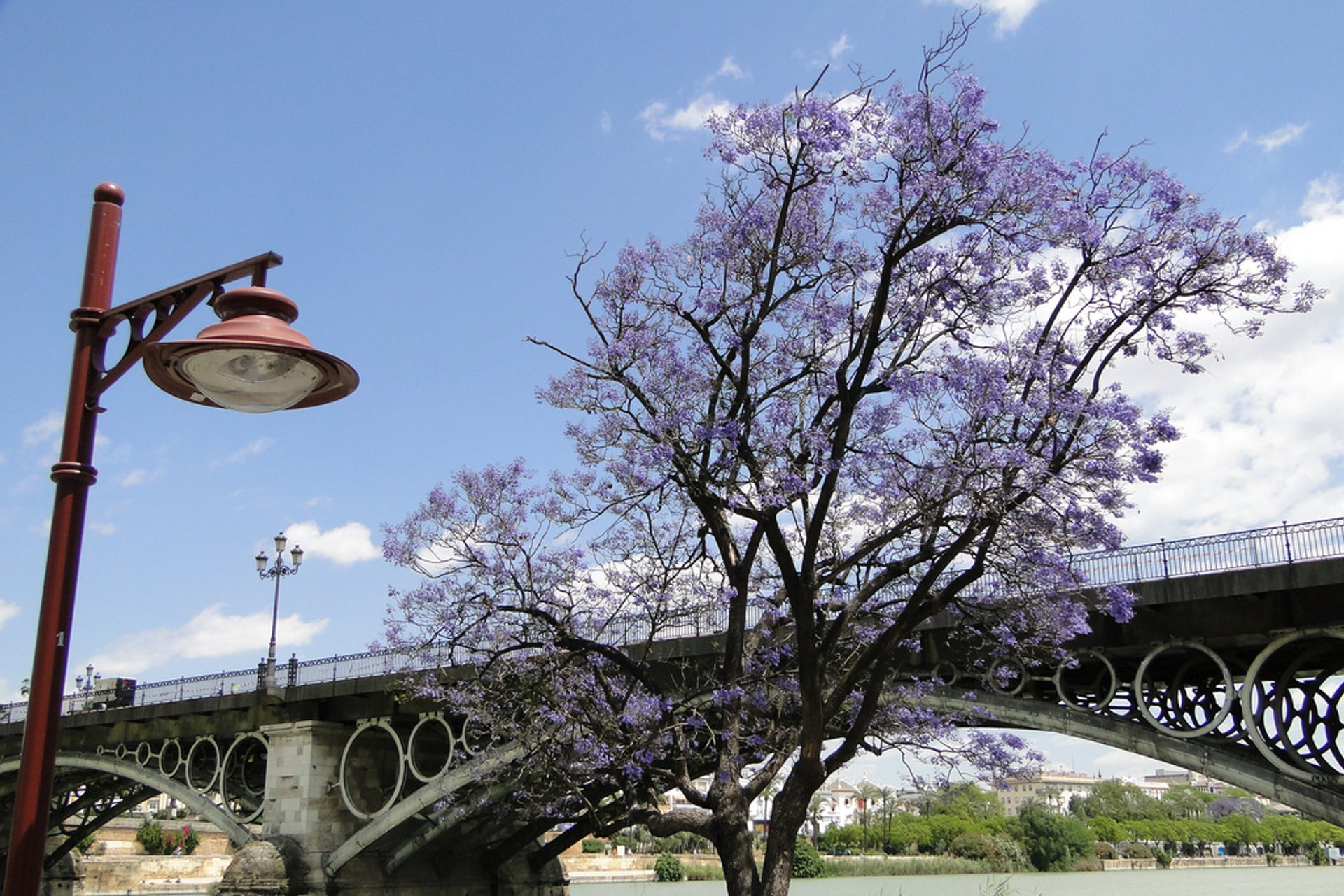 Bridge with jacaranda tree in bloom in Seville, Spain 2020
