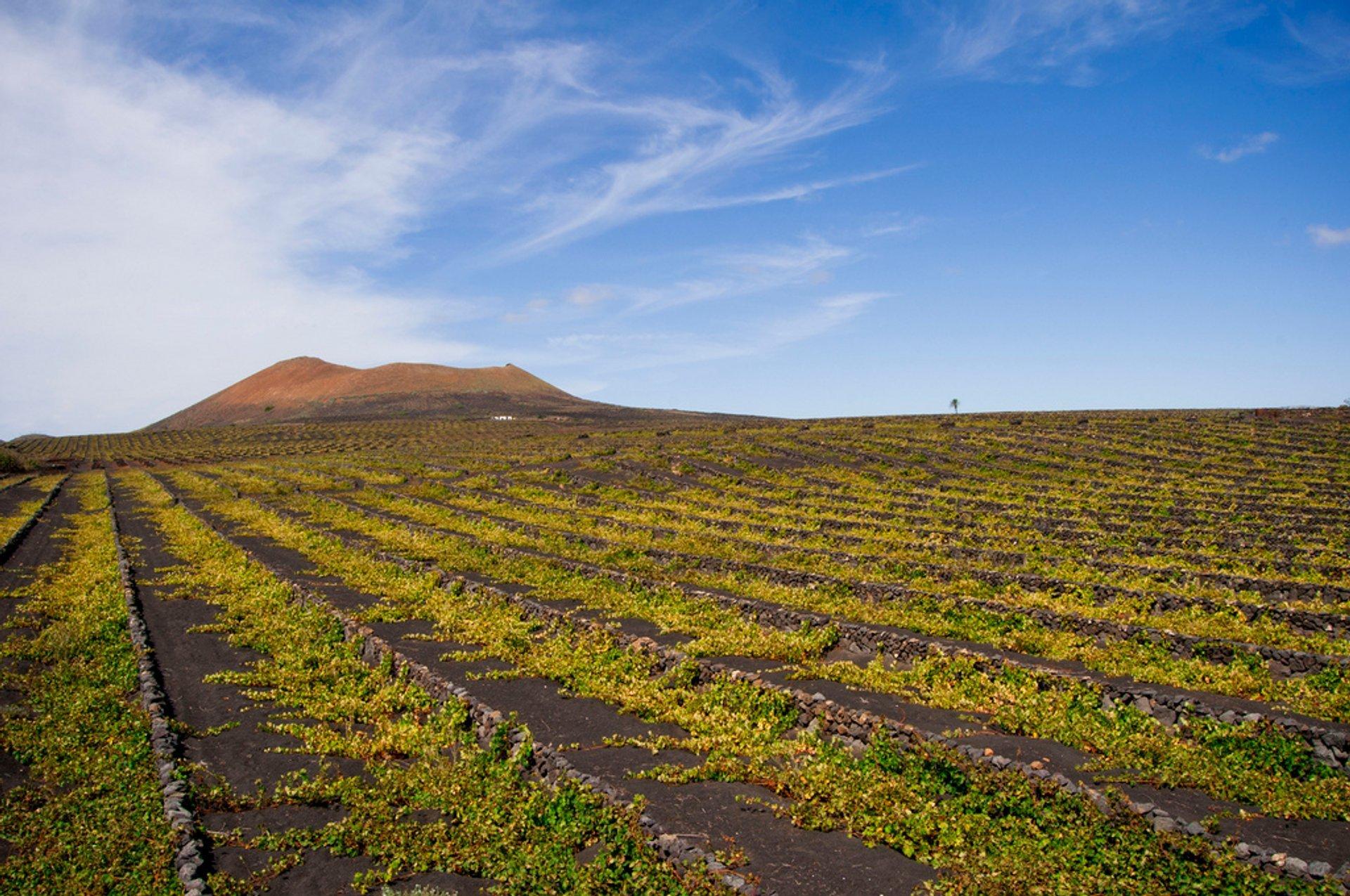 Wine Season in Canary Islands - Best Season 2019