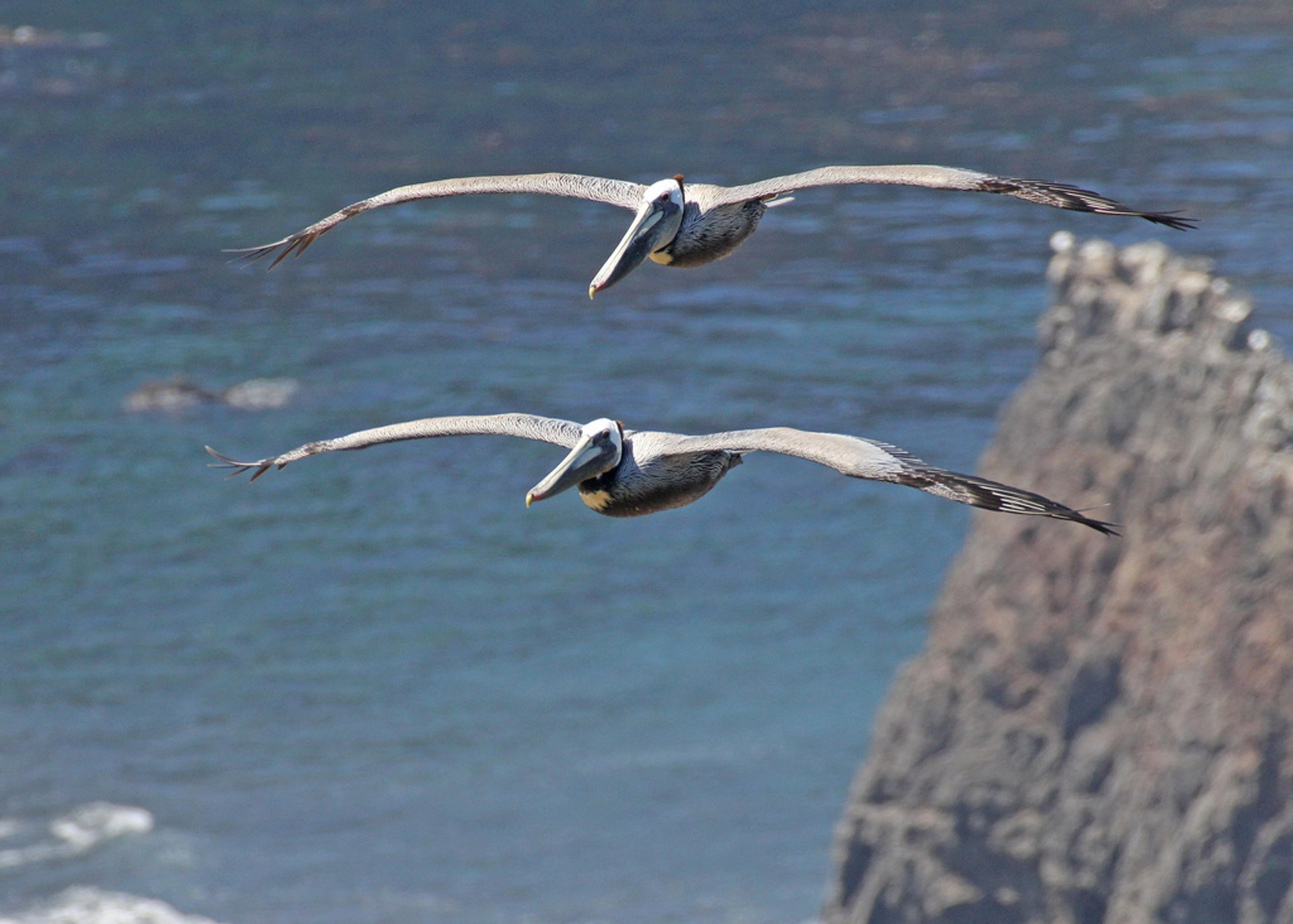 Brown Pelicans in California - Best Season