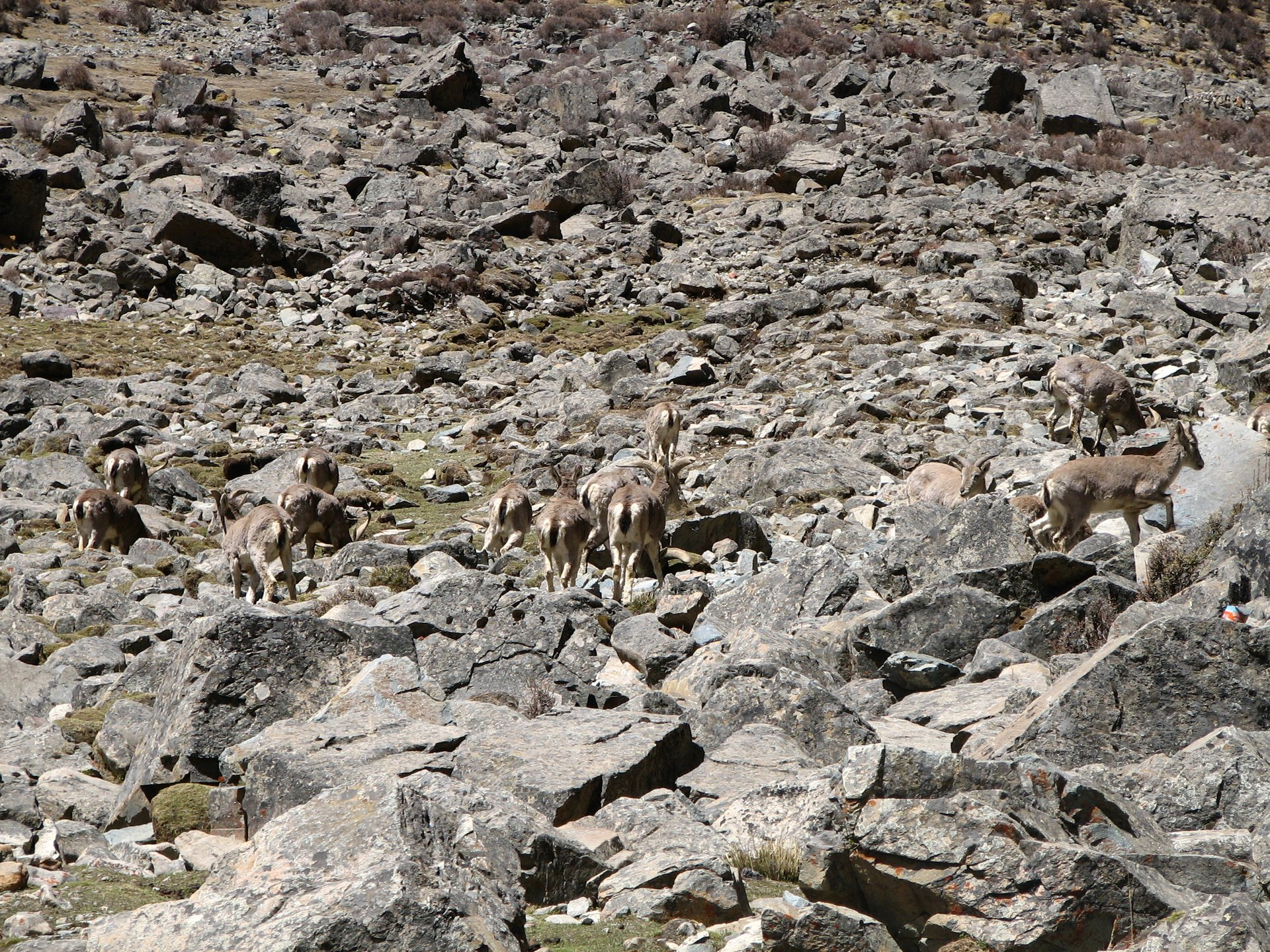 Tibetan Antelope (Chiru) in Tibet 2019 - Best Time