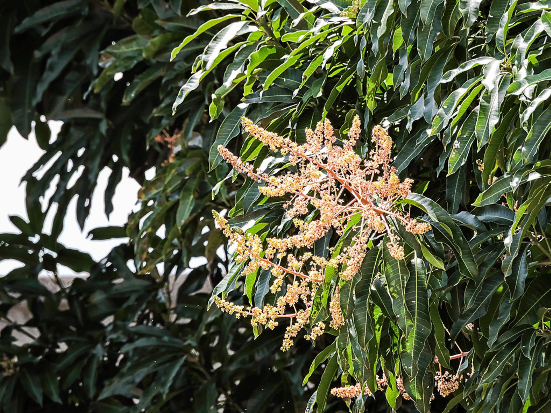 Mango Trees in Bloom in Rio de Janeiro - Best Time