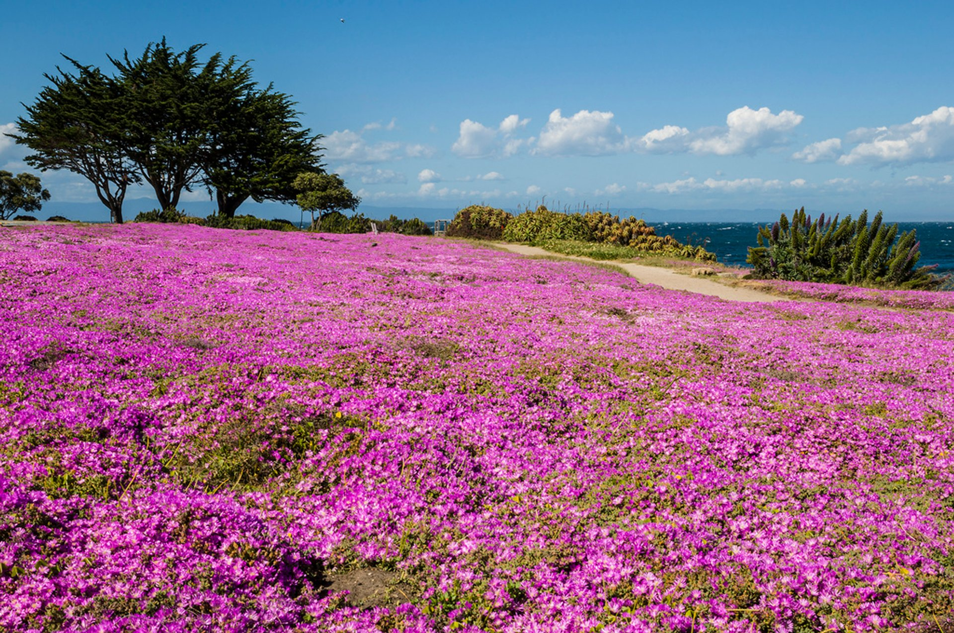Ice Plant Bloom in California 2020 - Best Time