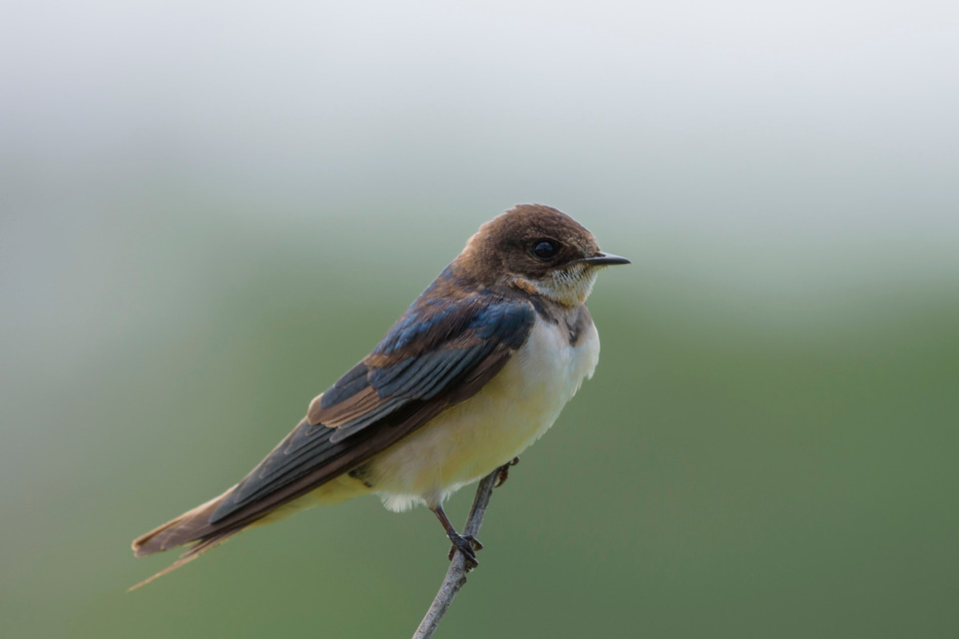Barn swallow 2020