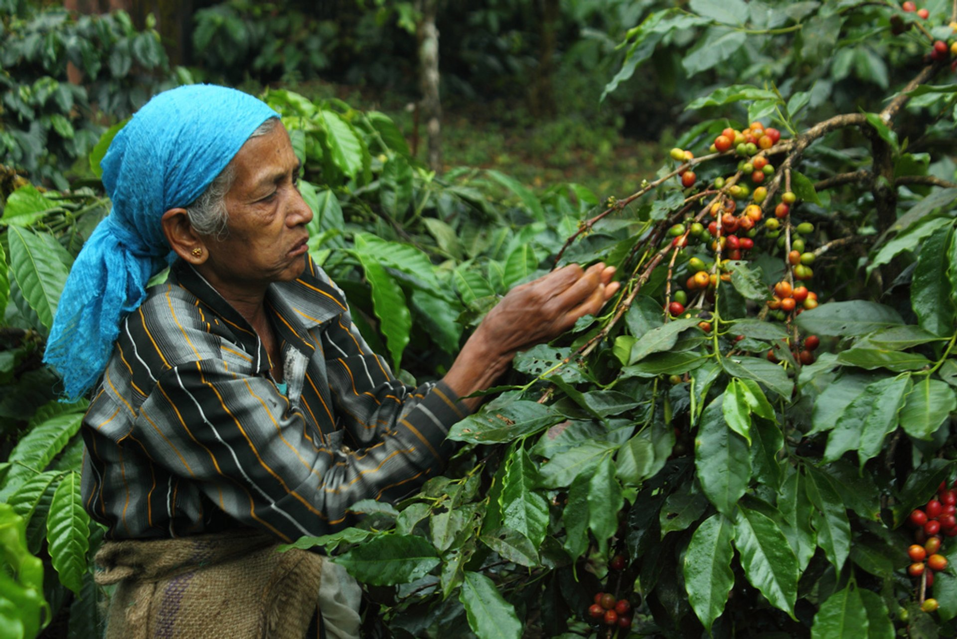 Coffee Harvest in India - Best Season 2020