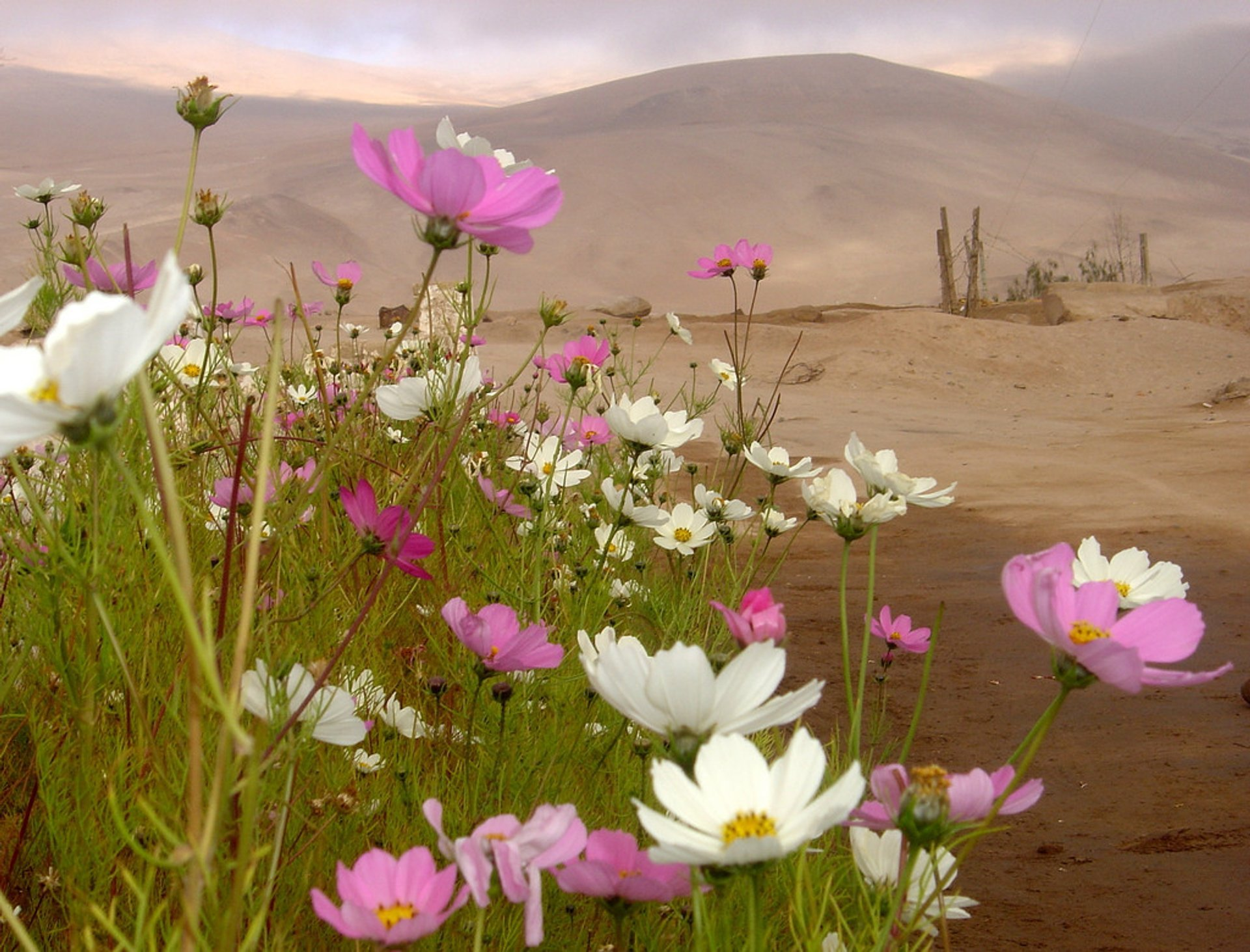 Flowers in the Atacama Desert​ in Chile - Best Season 2019