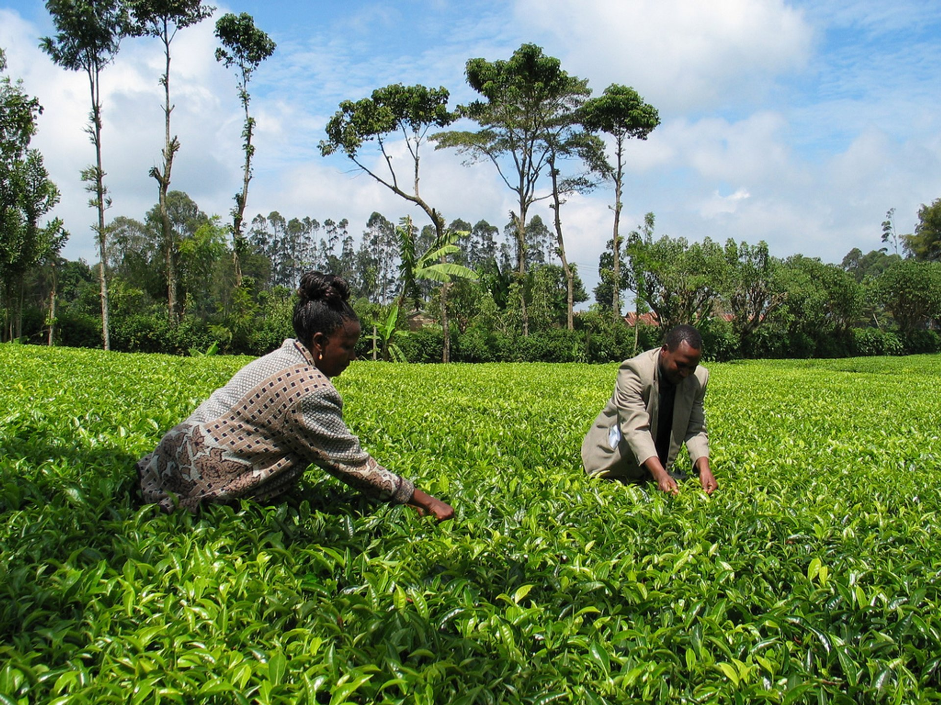 Best time to see Tea Growing Season in Kenya 2020