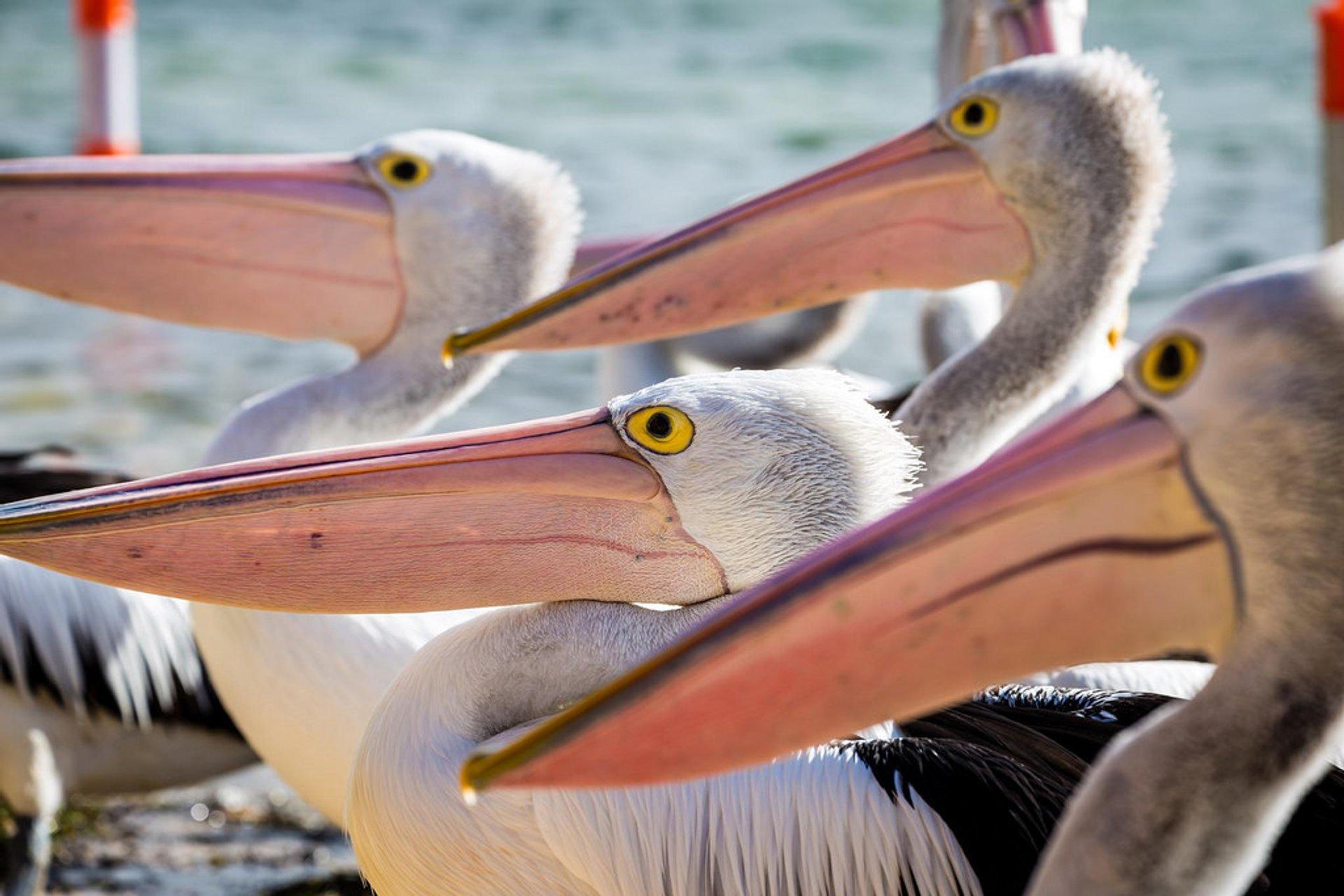 Phillip Island Pelicans 2020