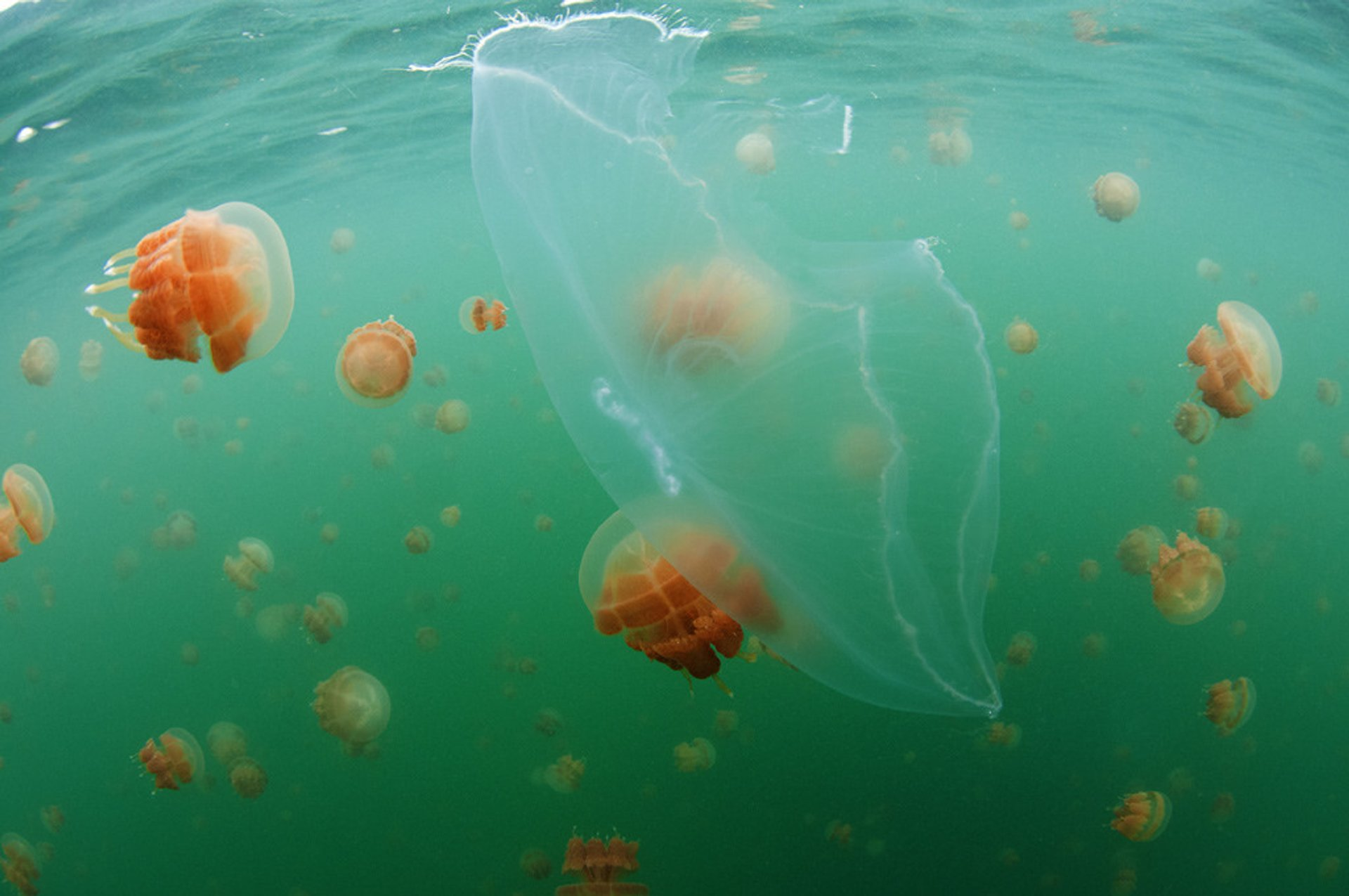 Swim with Stingless Jellyfish in Kakaban Lake in Borneo 2020 - Best Time