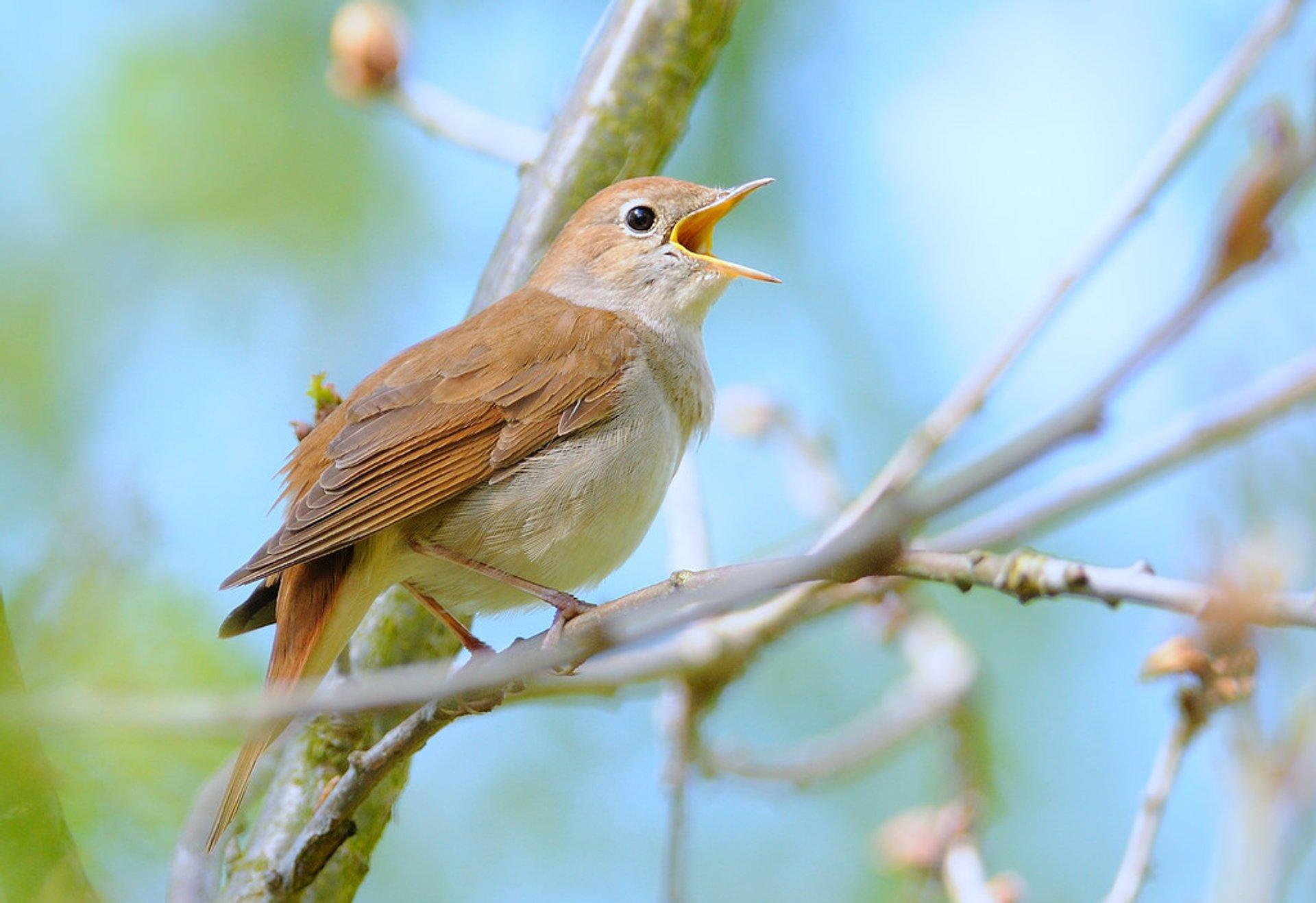 Nightingales in Cyprus - Best Season 2019