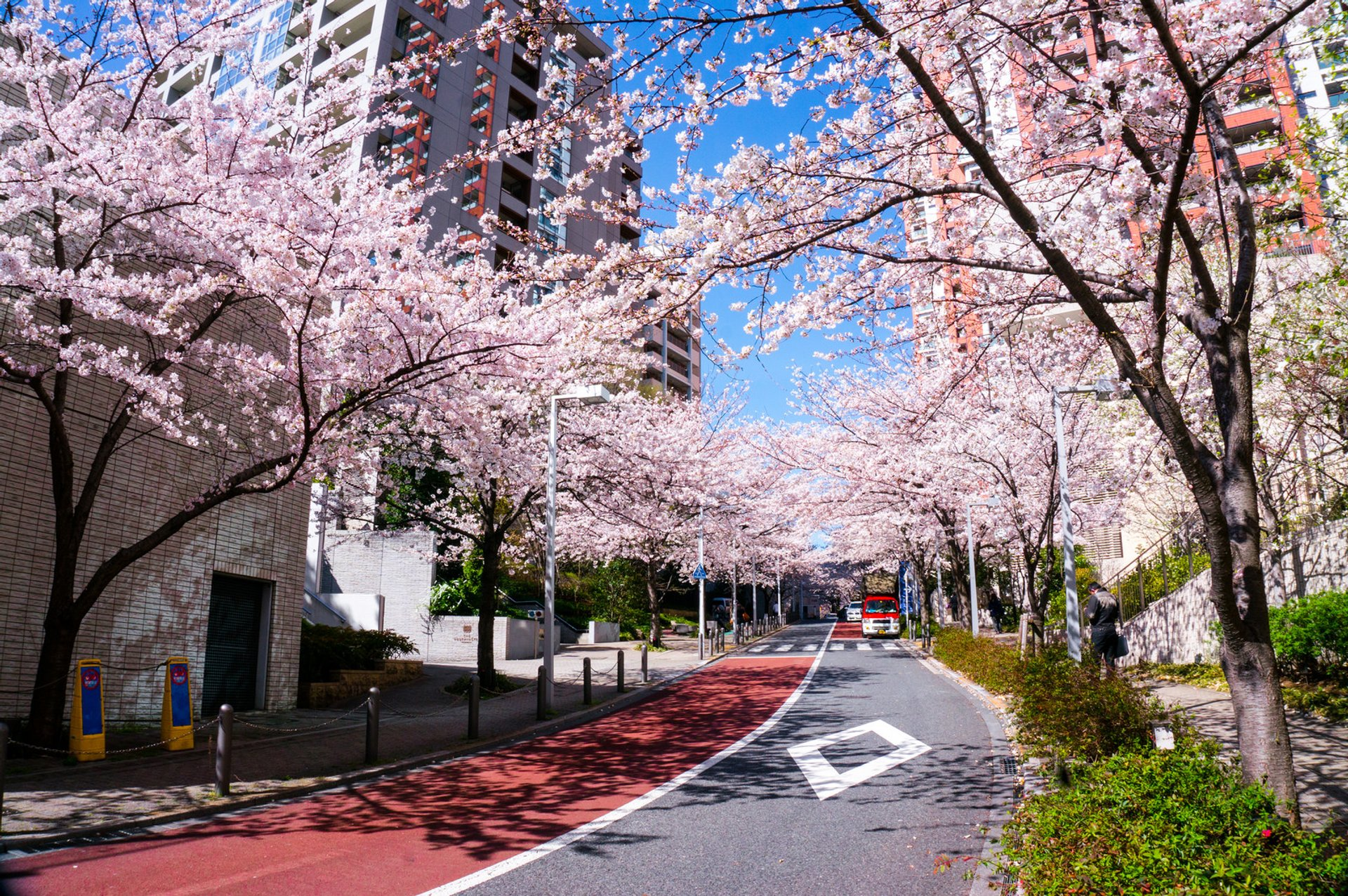 Best time for Cherry Blossom 2020