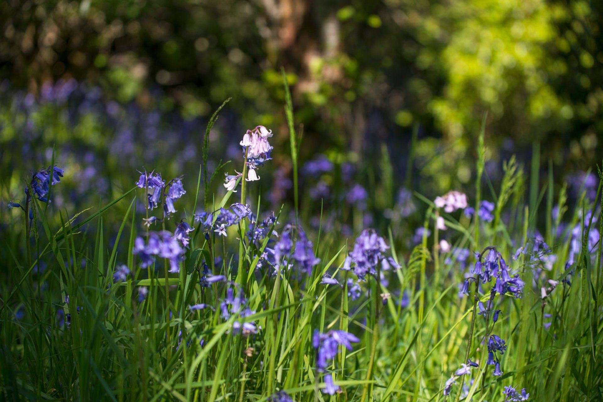Best time for Blooming Bluebells in Scotland 2020