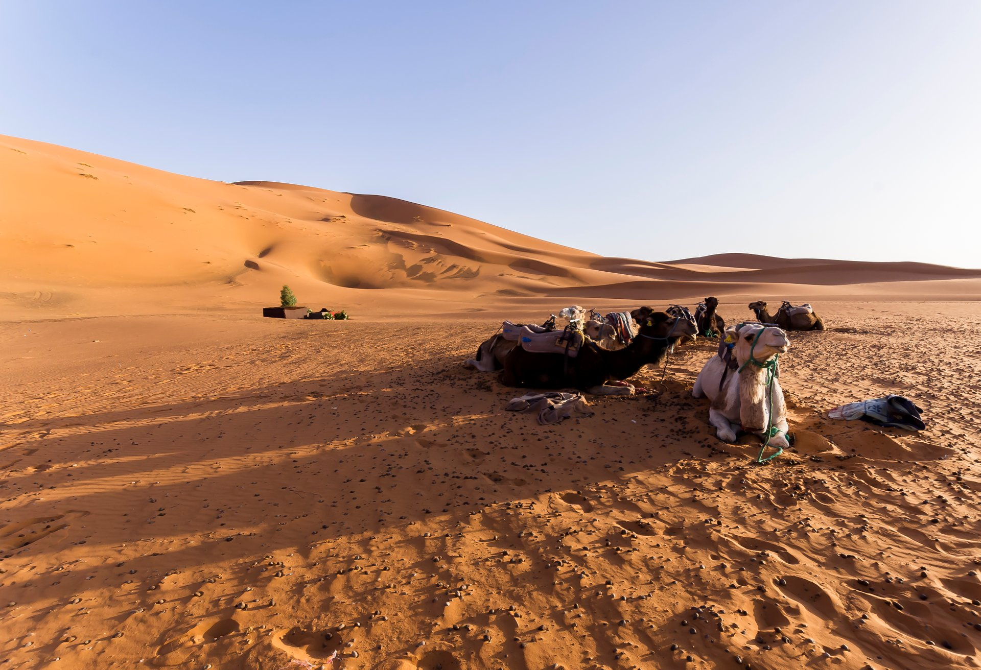 Camels waiting for breakfast, Erg Chebbi, Morocco 2020