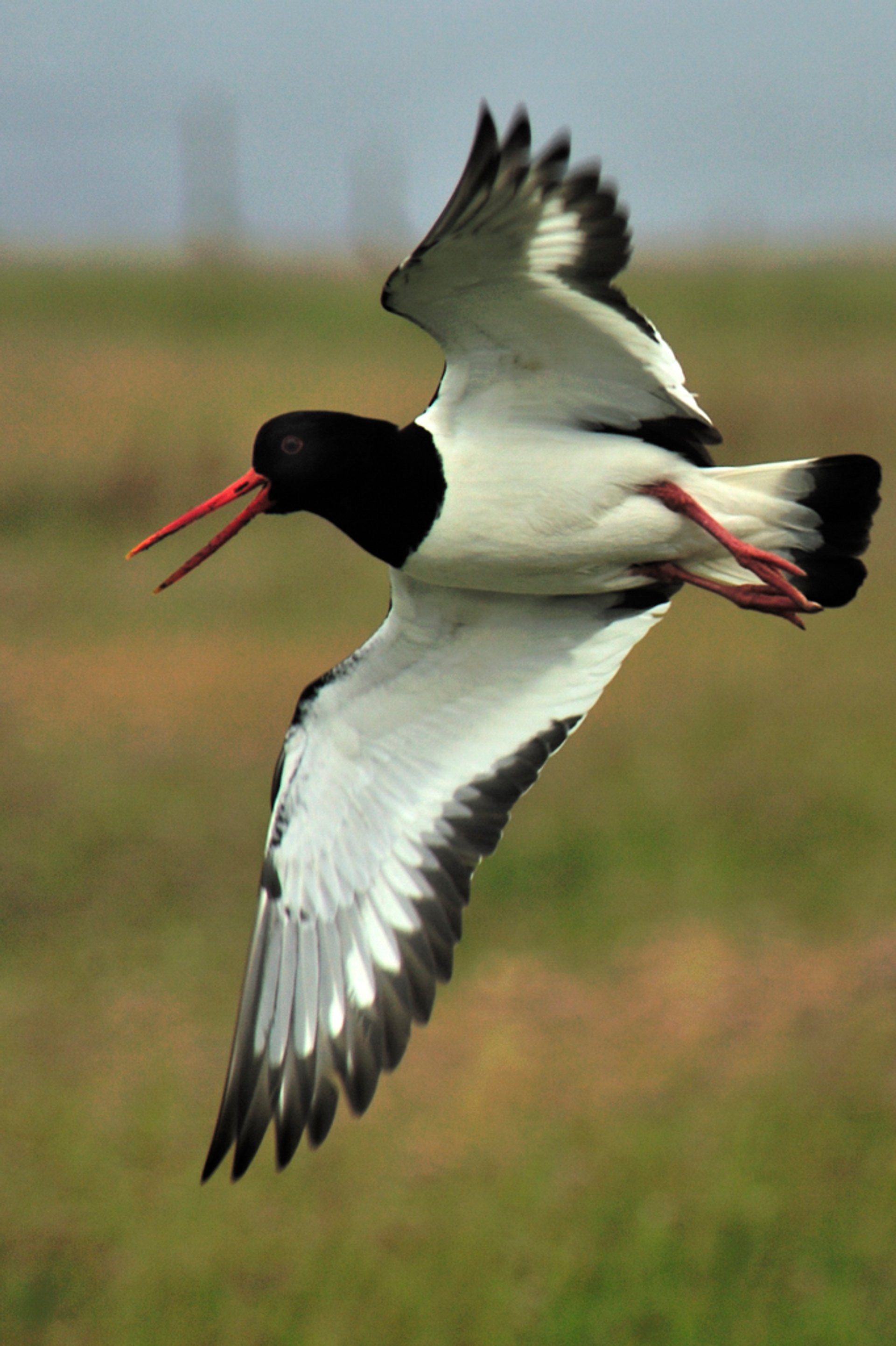 Grækarismessa: The Arrival of the Oyster-Catchers in Faroe Islands - Best Season