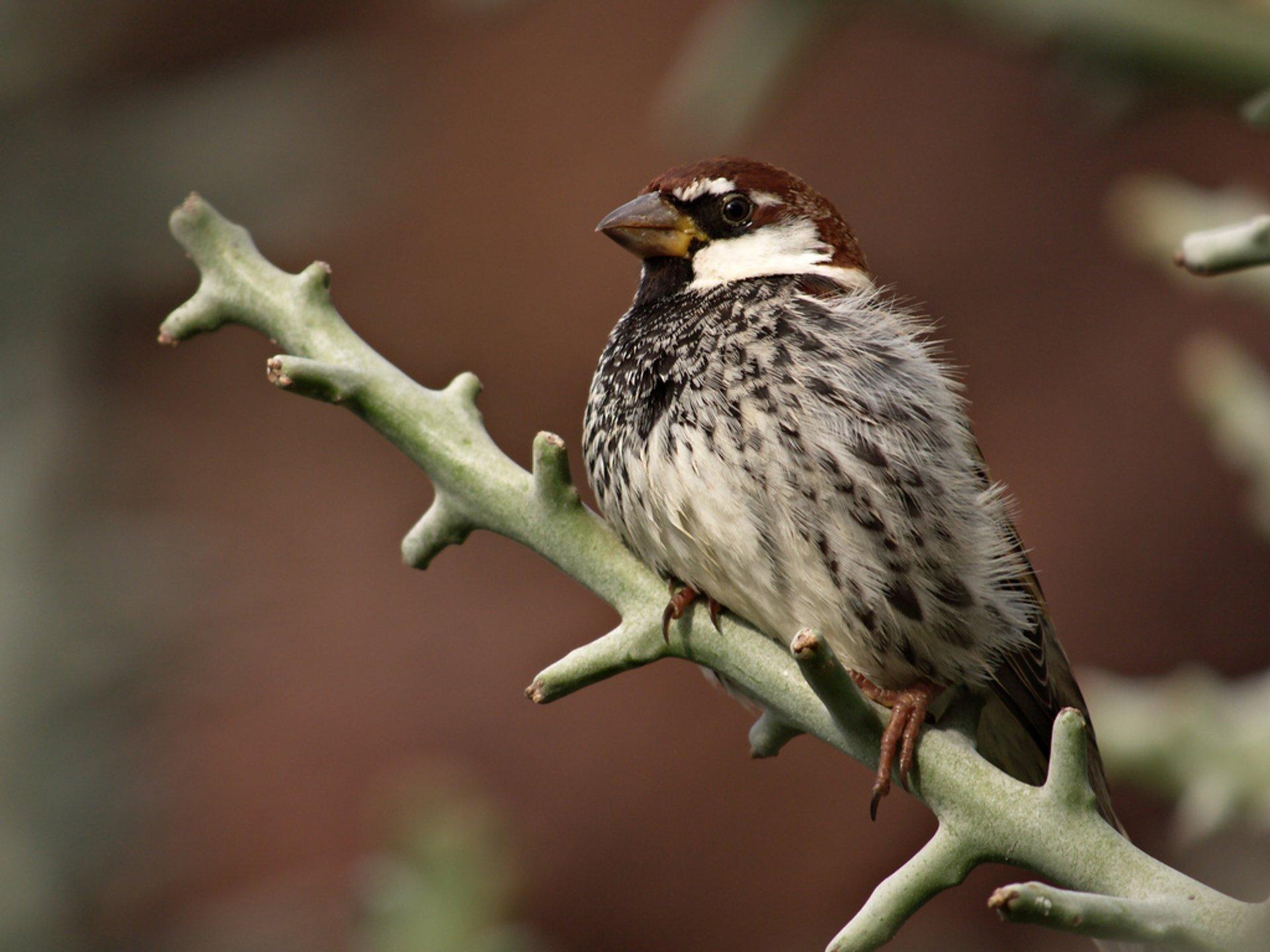 Spanish Sparrow 2020