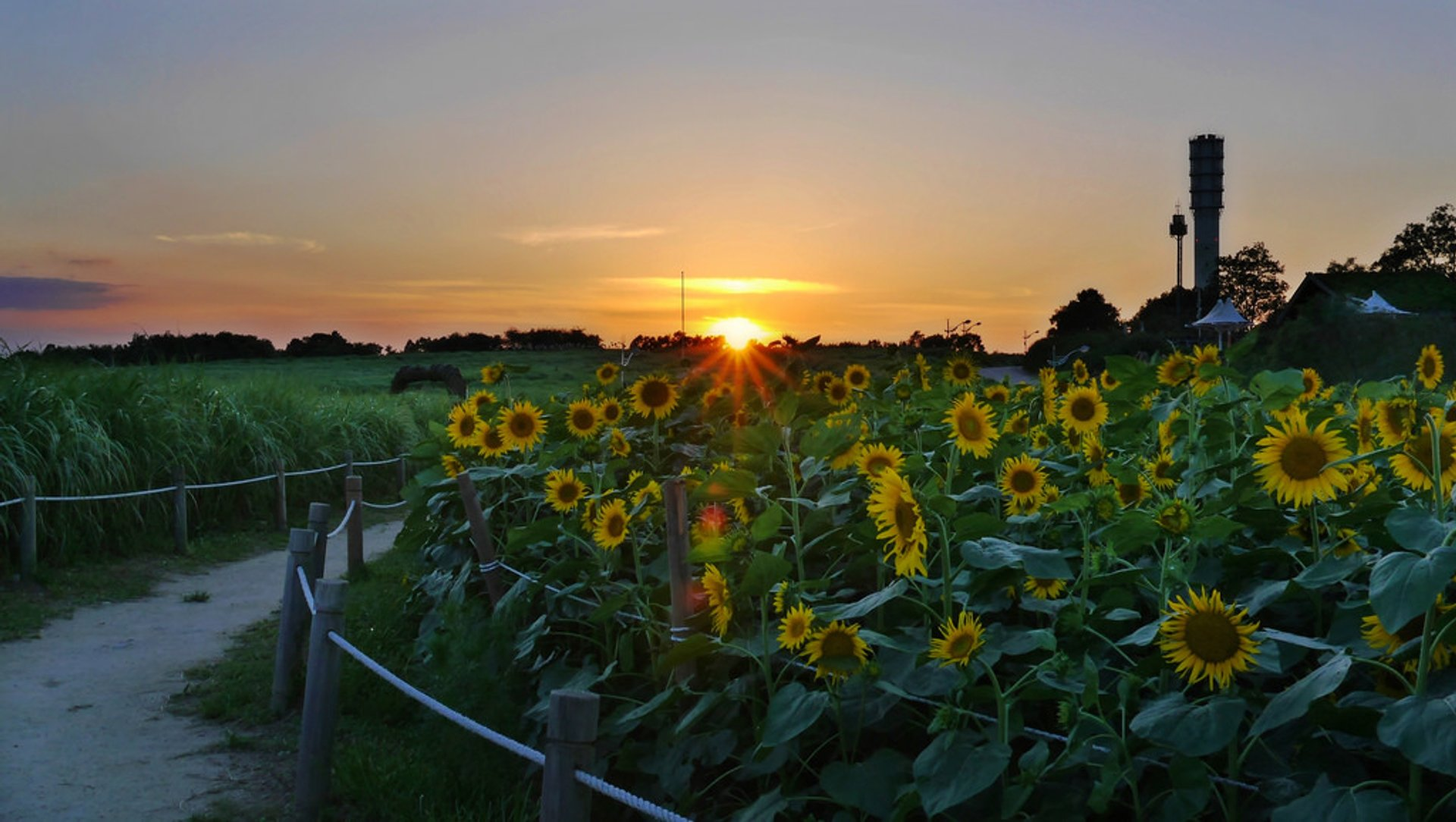 Best time for Sunflowers in South Korea