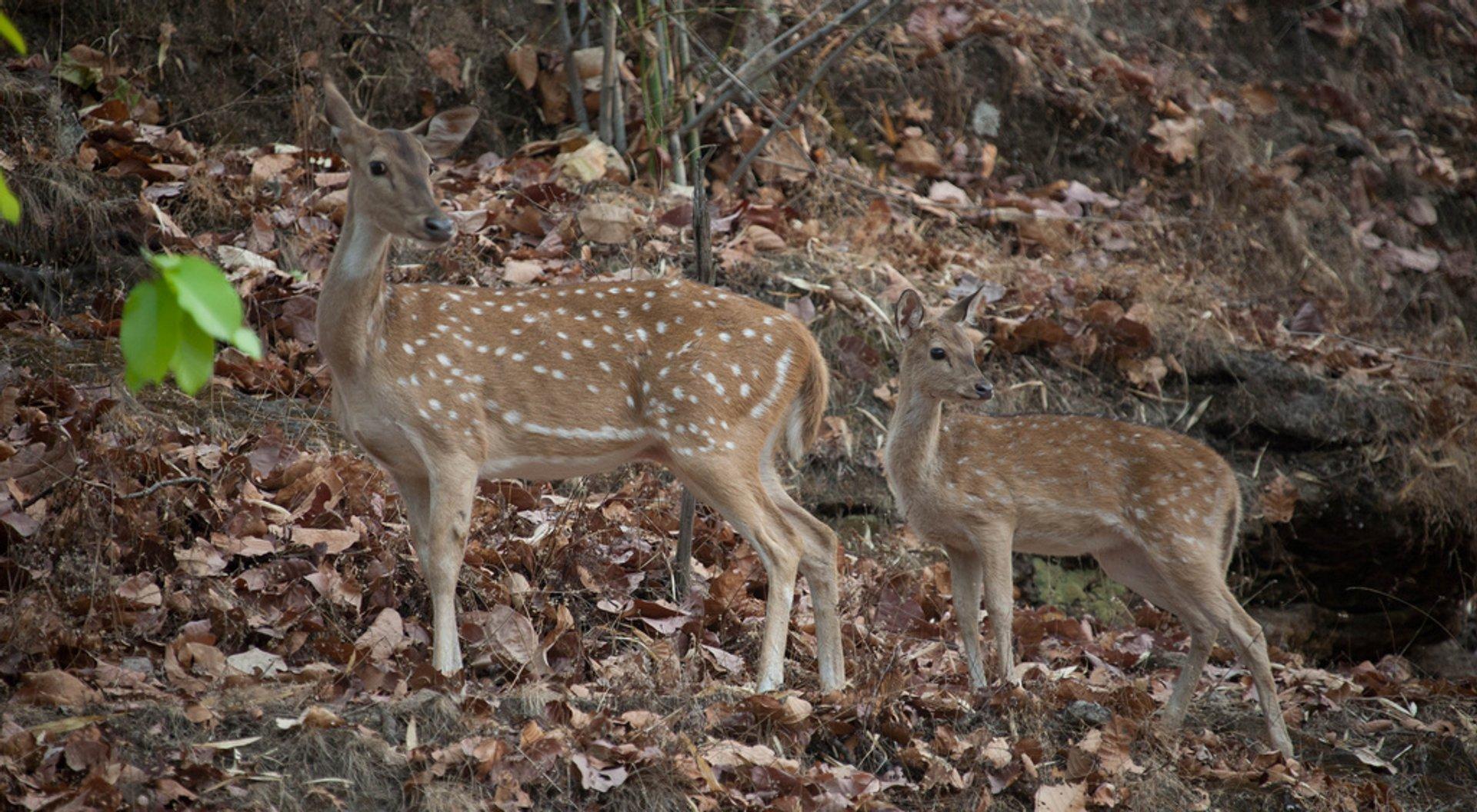 Deer in the Bandhavgarh National Park 2020