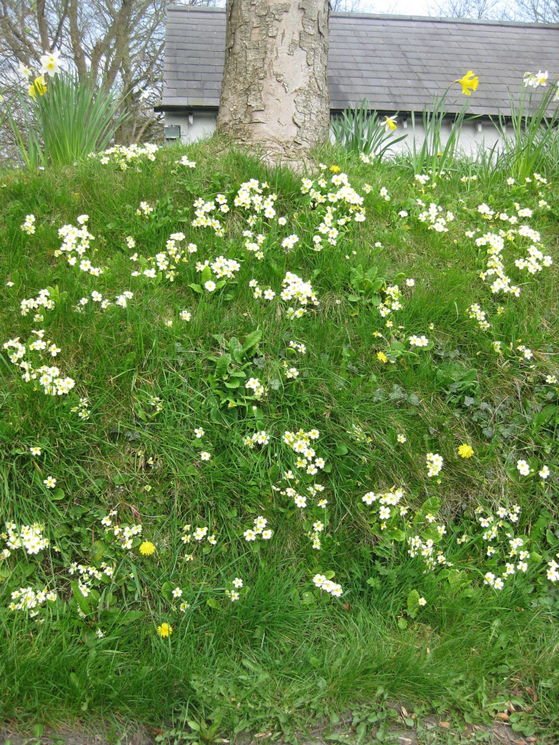 Primrose Blooming Season in Ireland - Best Season 2020