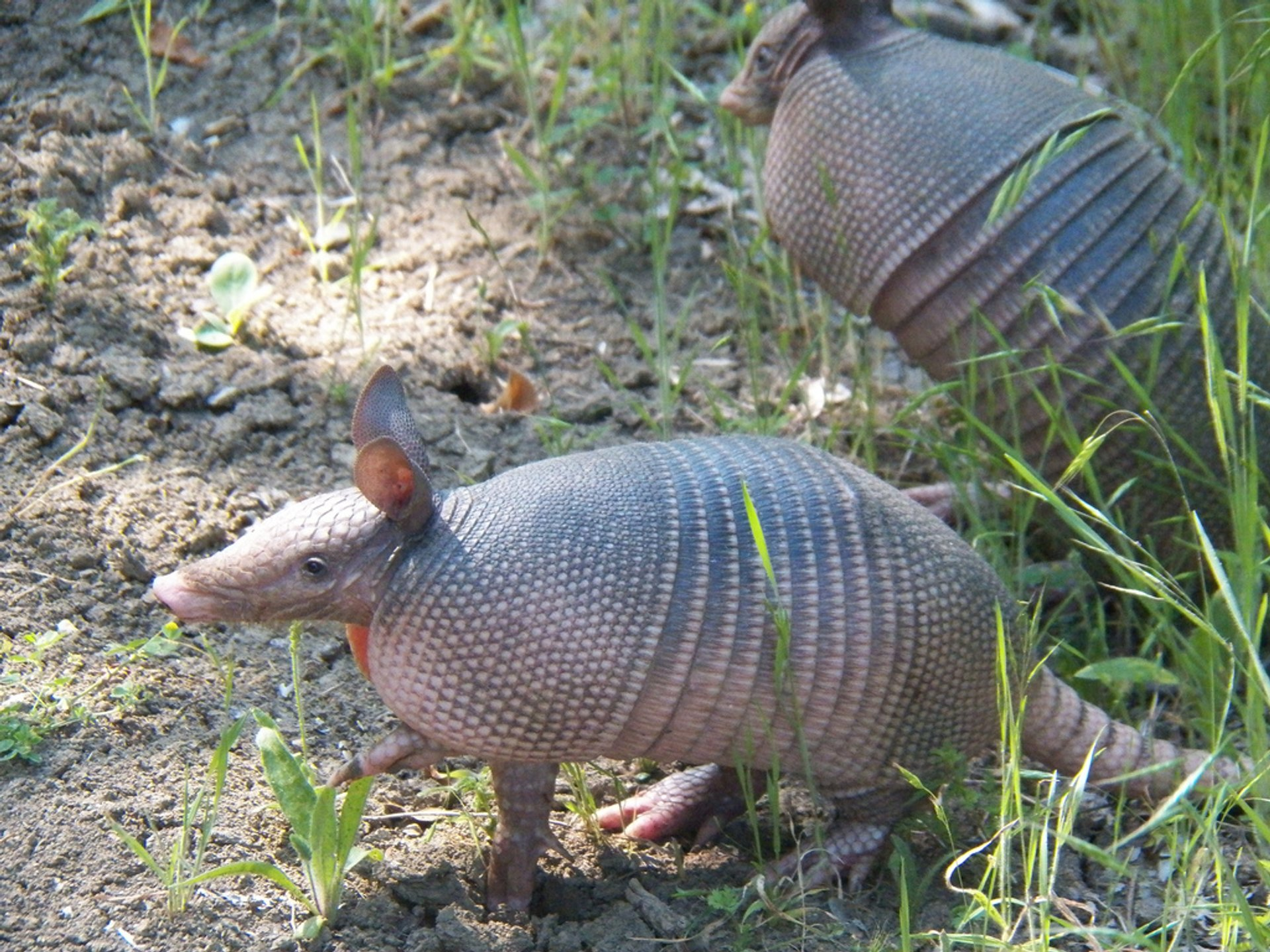Nine-banded armadillo at Trinity Trail just north of Brockdale Park 2020