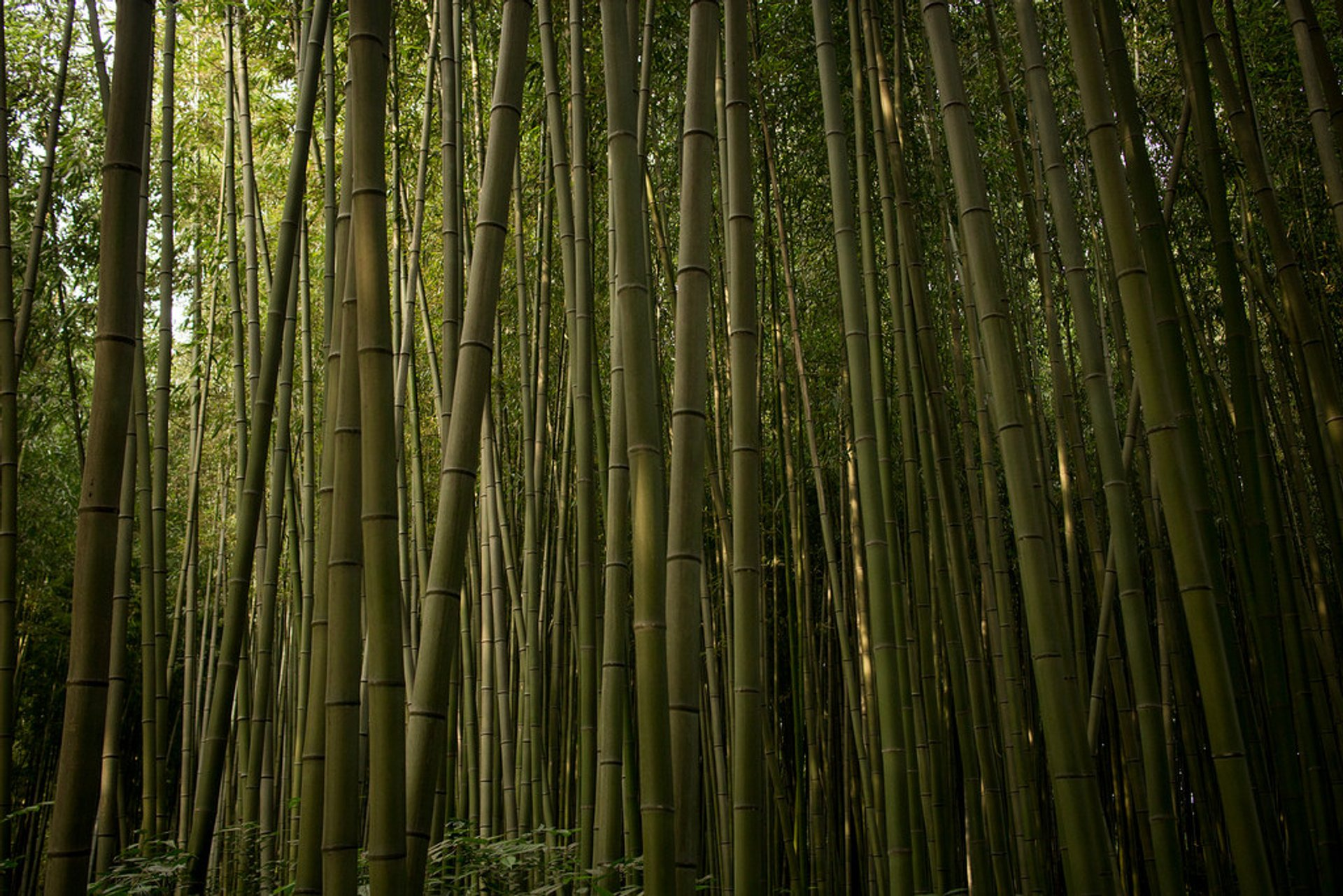 Bamboo forest 2020