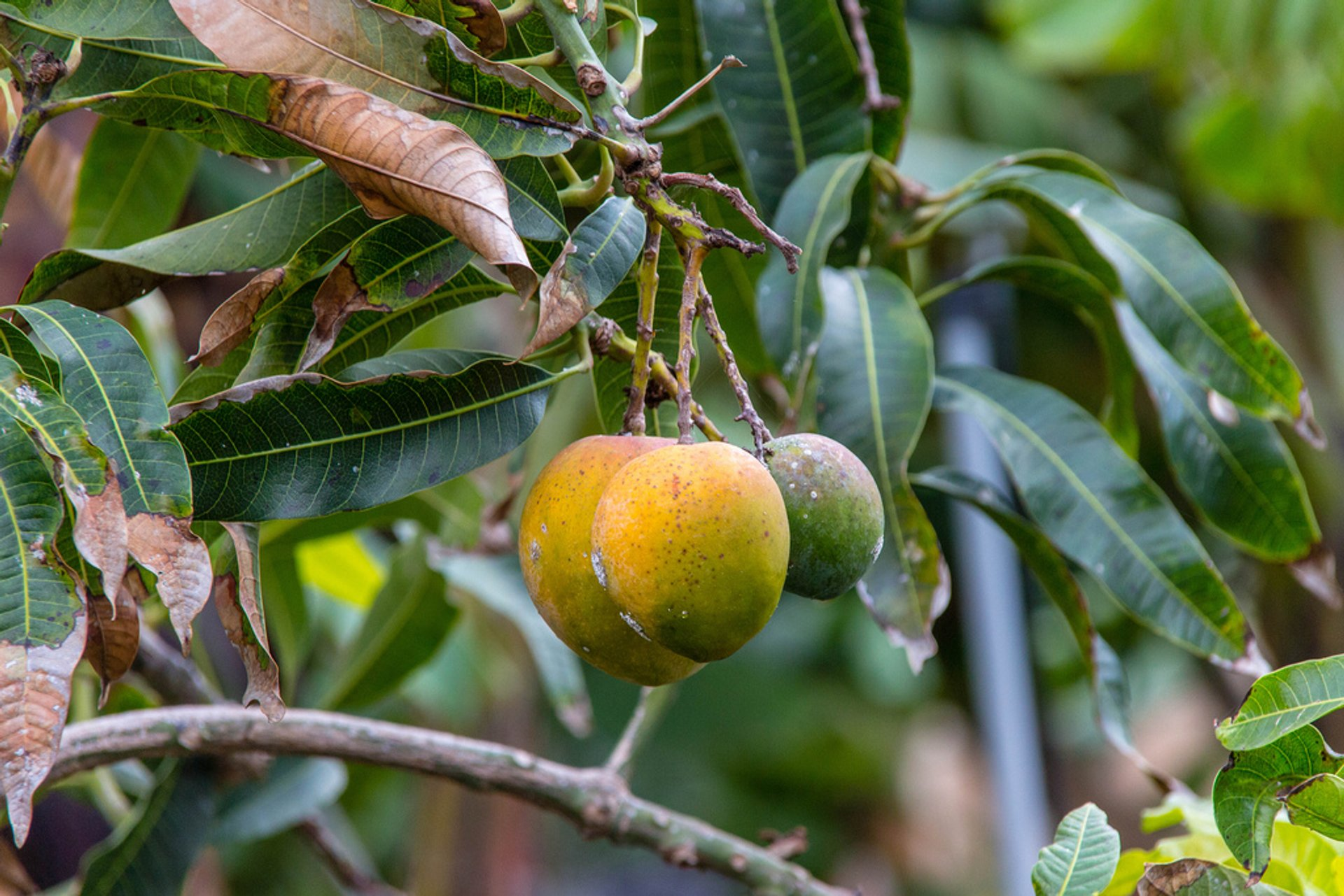 Mango Season in Canary Islands - Best Season 2020