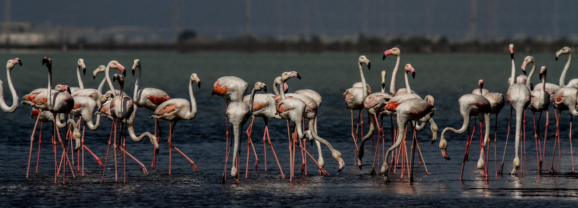 Often, Greater Flamingoes arrive first at the Akrotiri Lake, and later on move to Larnaca Lake 2019