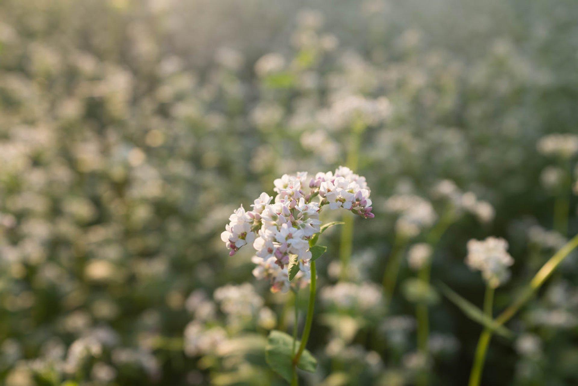 Buckwheat Bloom in South Korea 2020 - Best Time