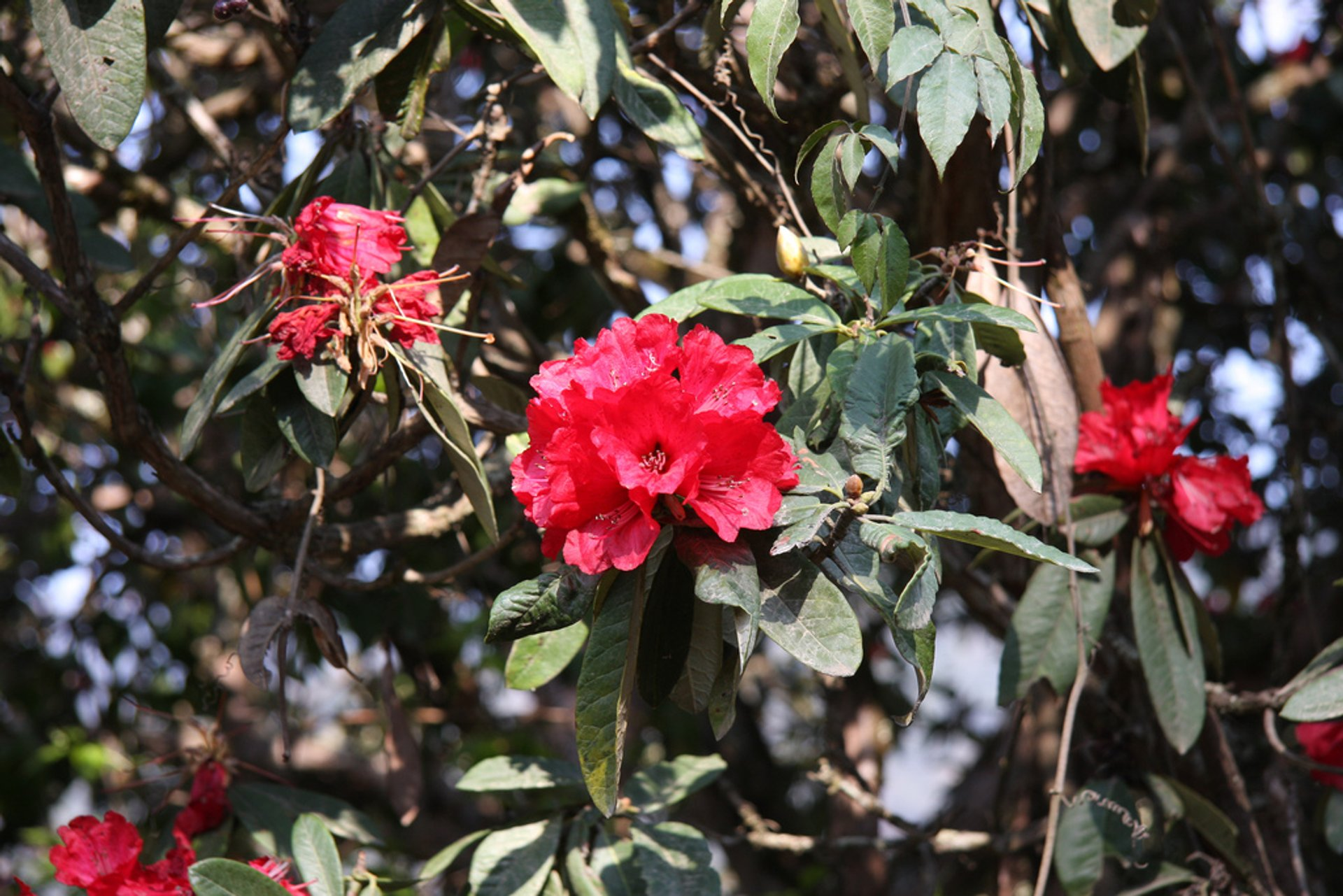 Blooming Rhododendrons in Bhutan 2019 - Best Time