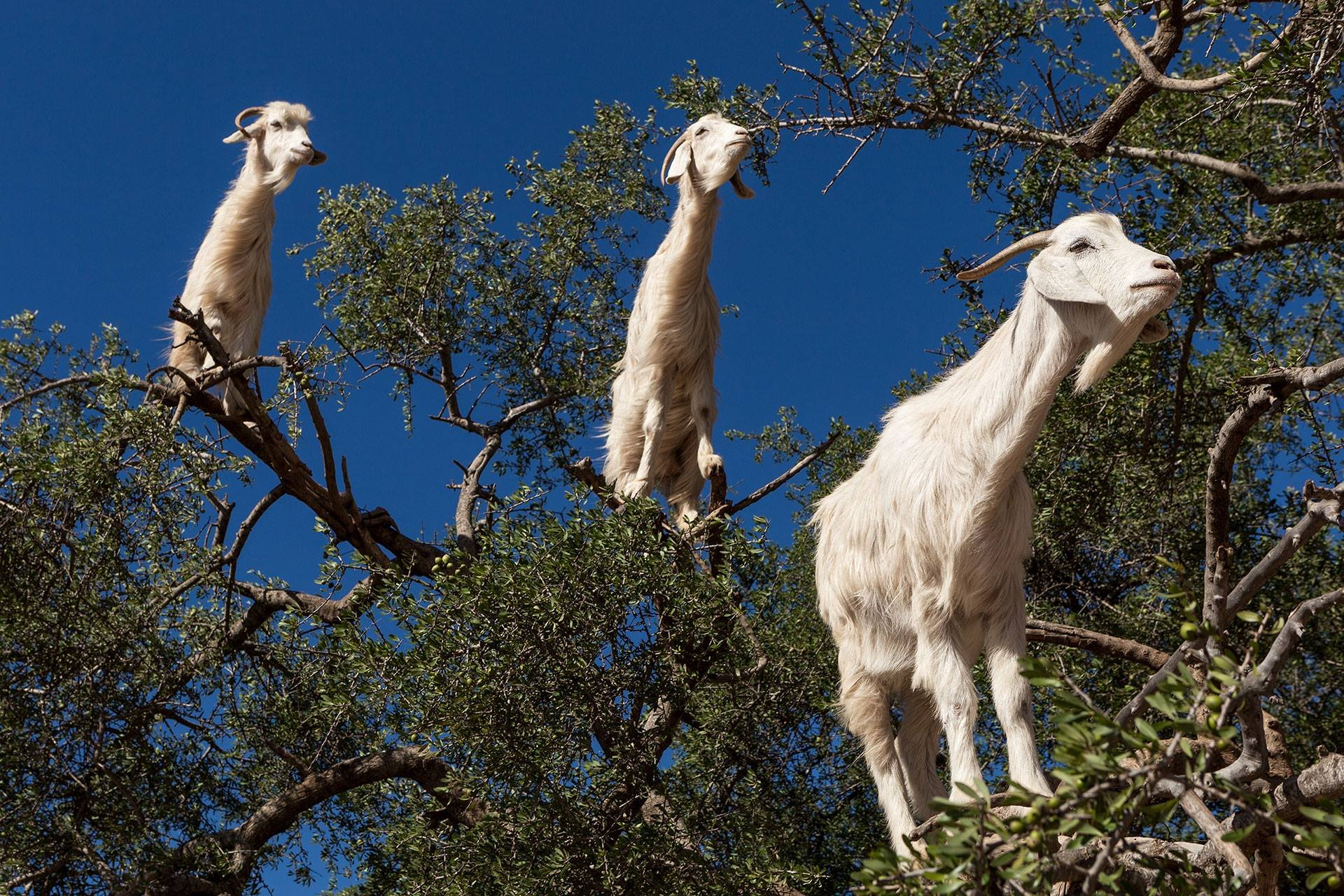 Goats of Souss Valley in Morocco - Best Season 2020
