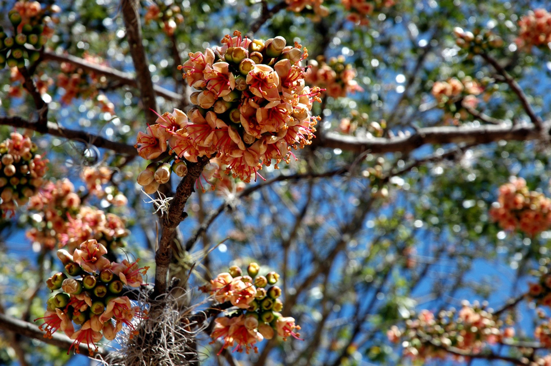 Ceiba Trees in Bloom in Guatemala - Best Season 2019