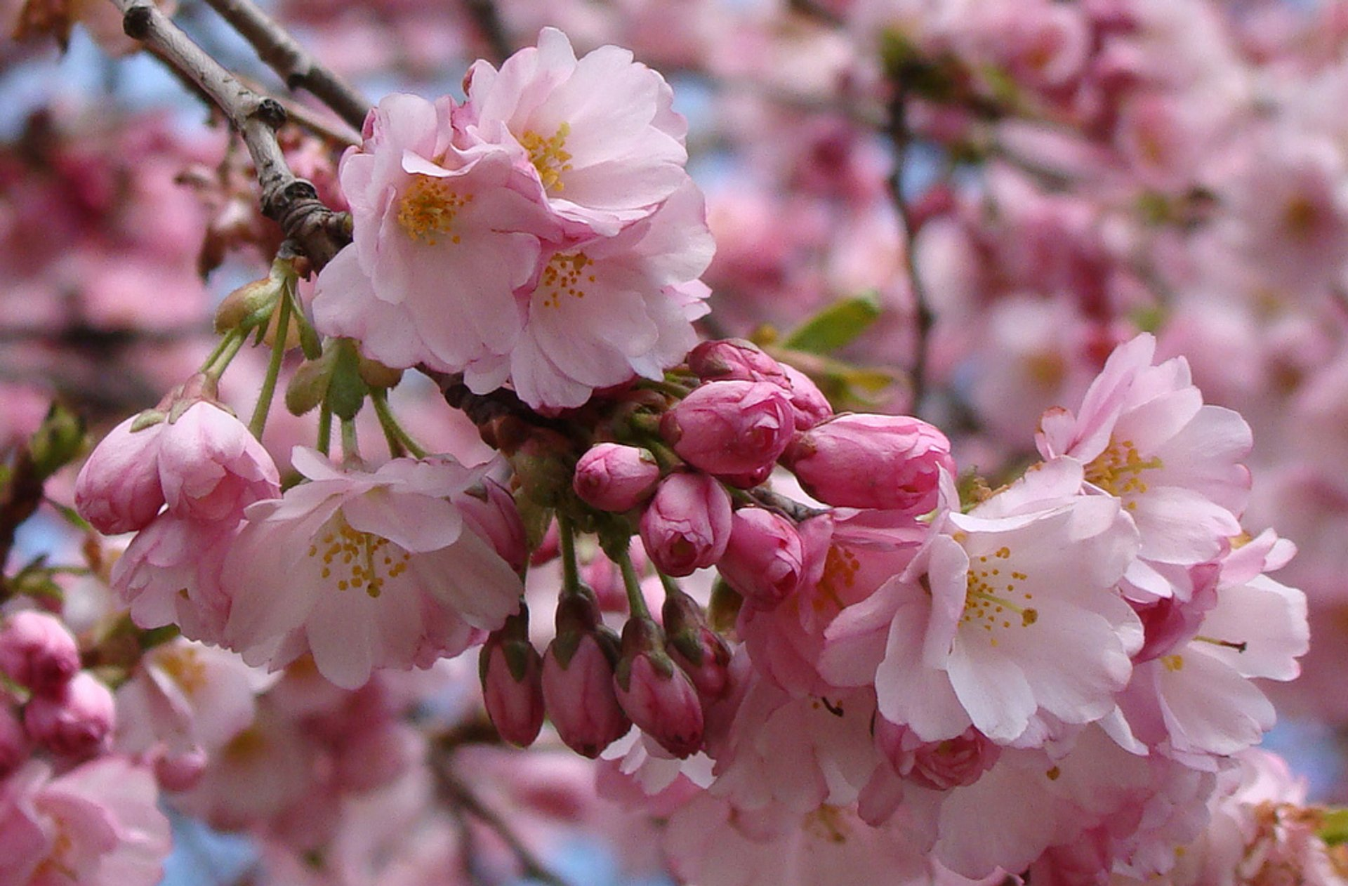 Vancouver Cherry Blossom Festival in Vancouver 2020 - Best Time