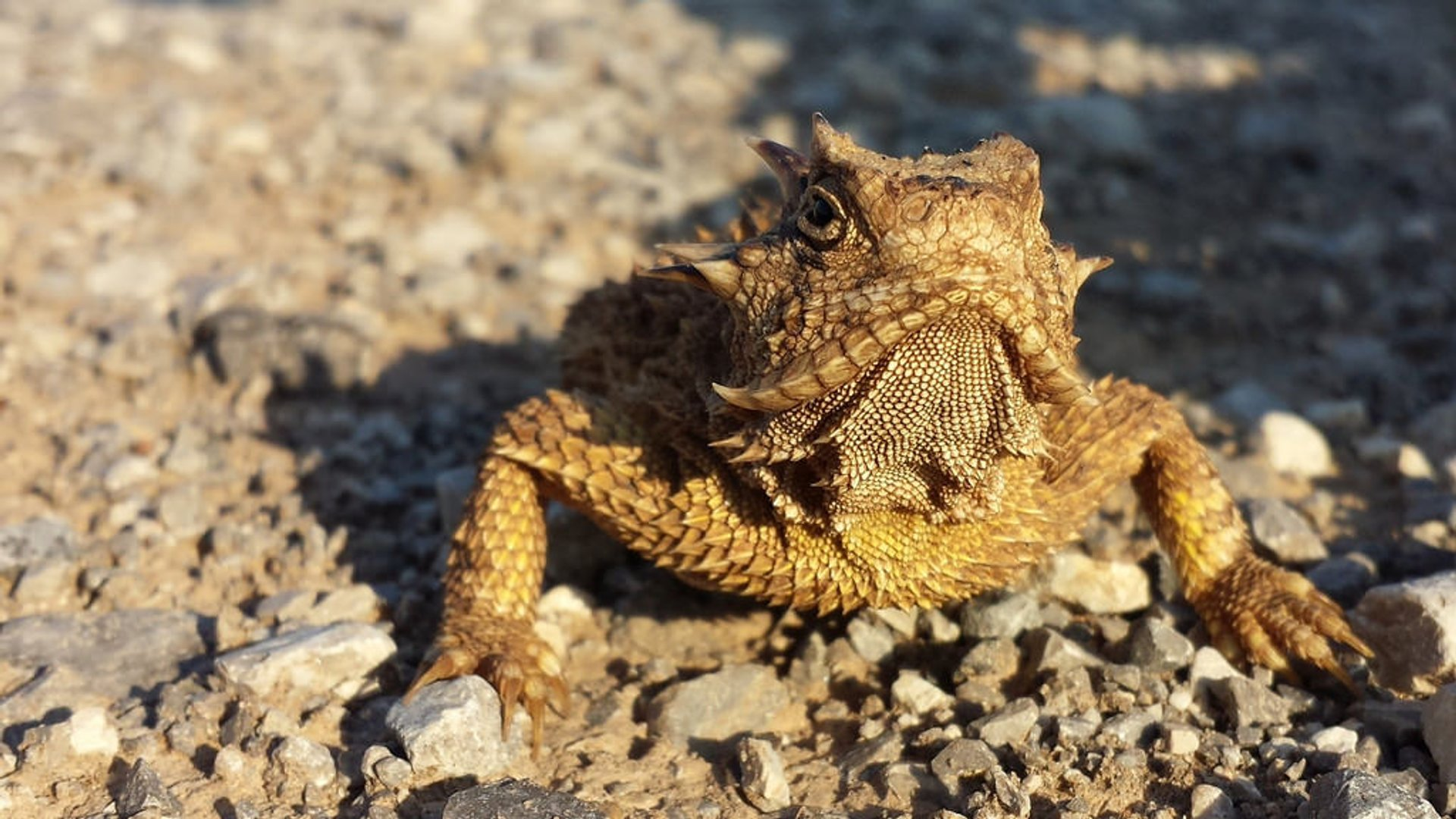 Texas Horned Lizard 2020