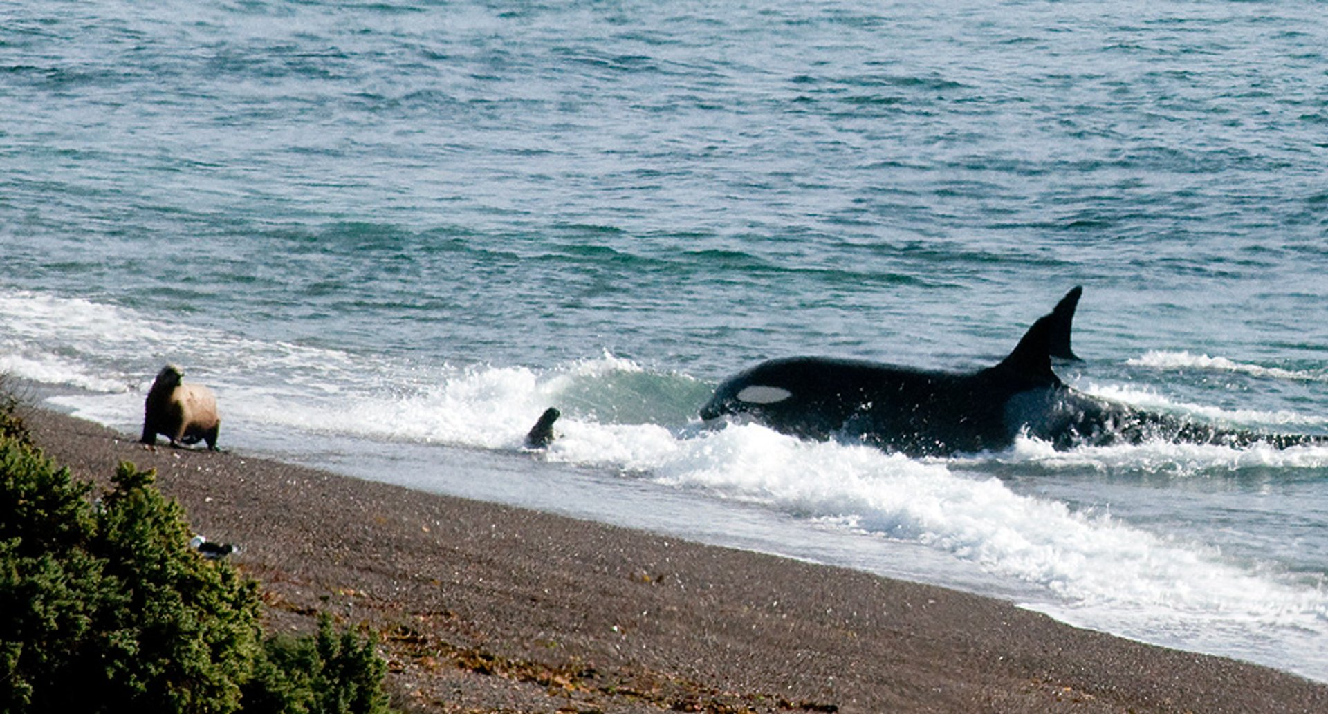 Orcas around Valdes Peninsula in Argentina - Best Time