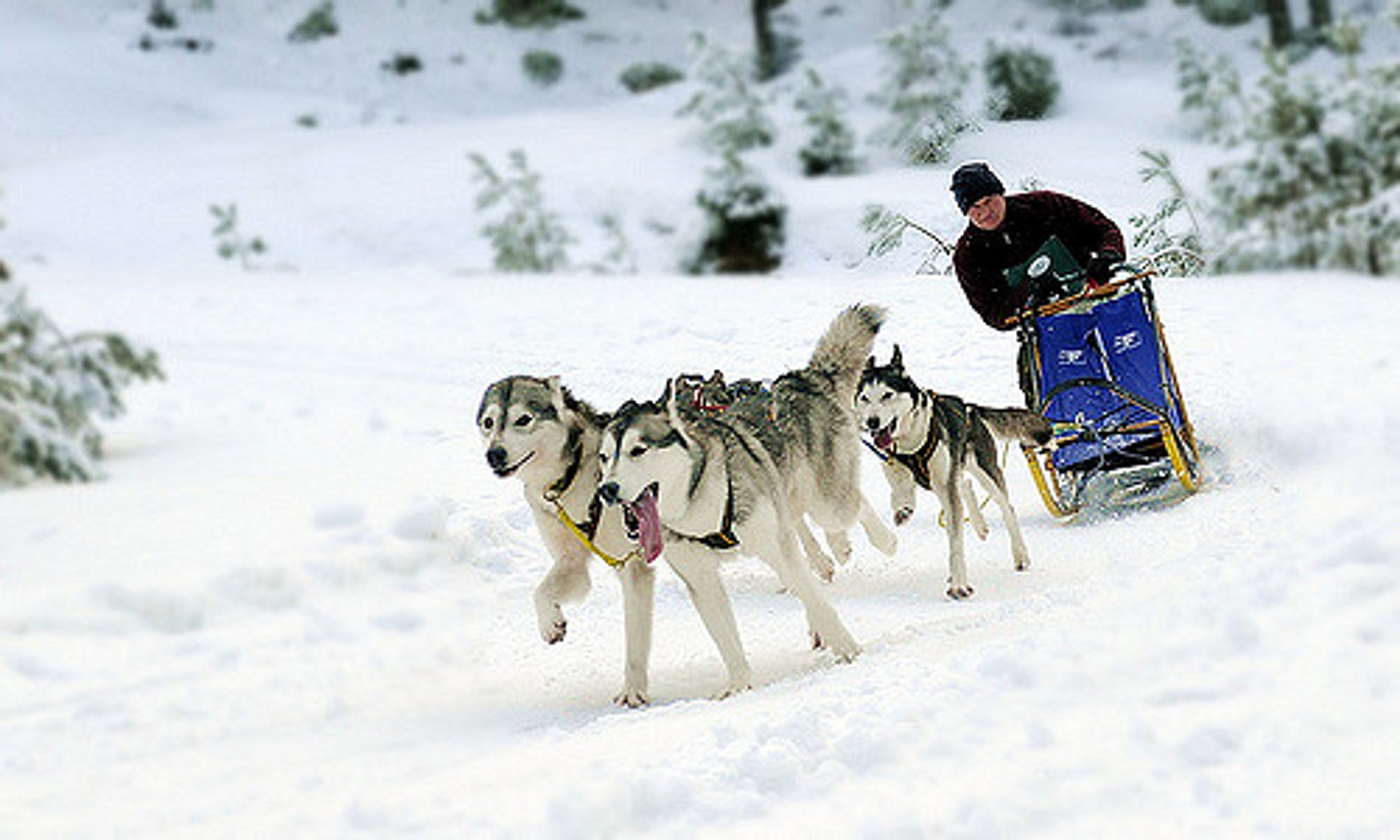 Dog Sledding in Scotland 2019 - Best Time