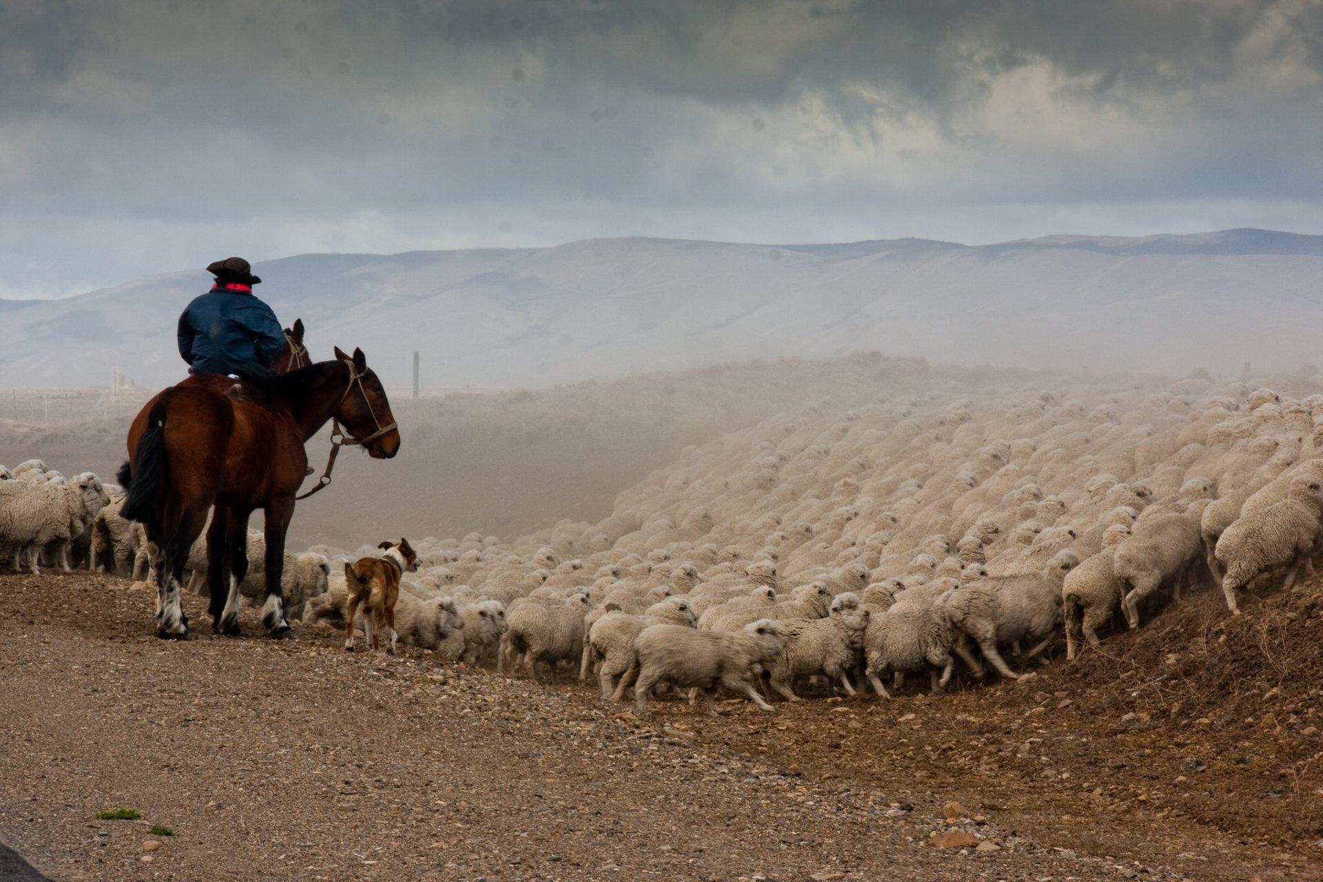 Grazing Sheep in Patagonia - Best Season 2020