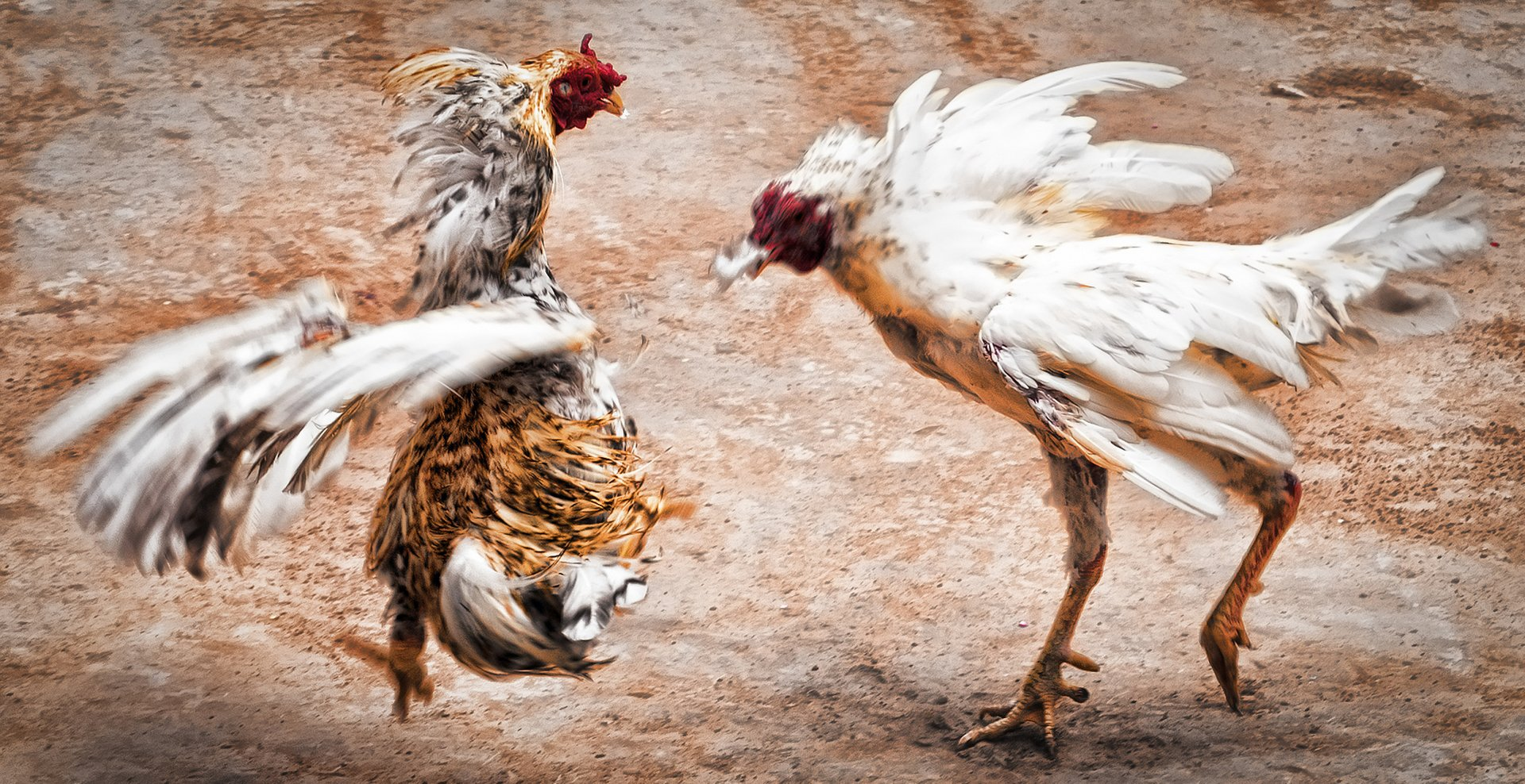 Cockfighting in Mexico 2020 - Best Time