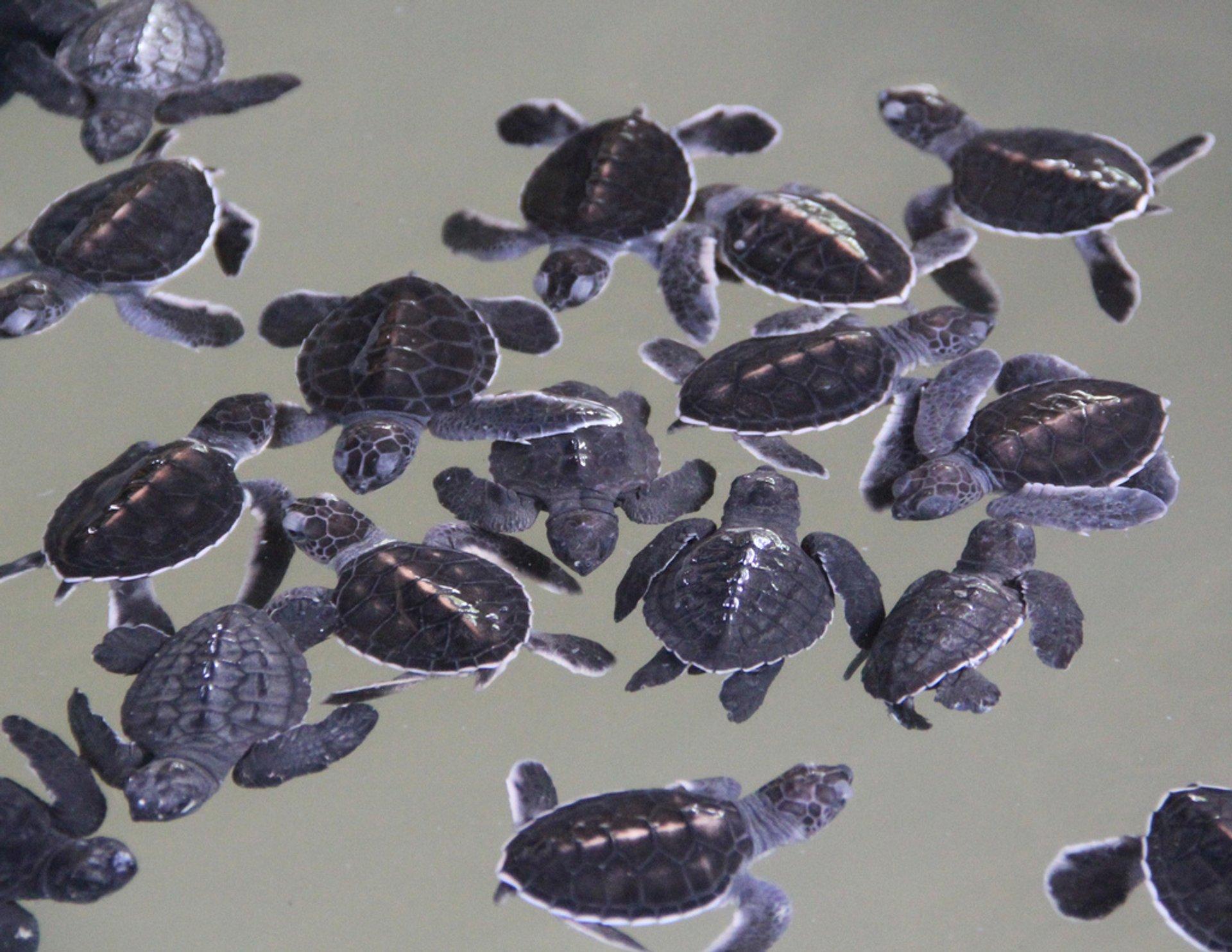 Turtle Sanctuary, Kosgoda 2020