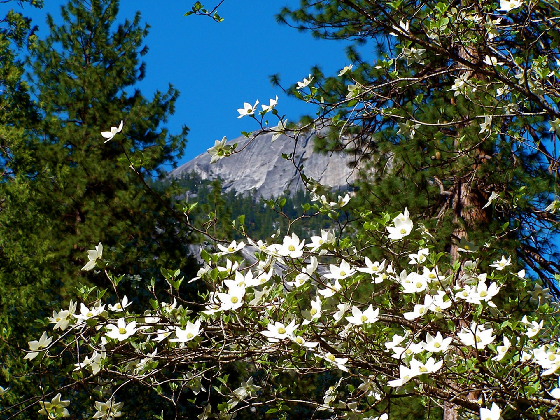 Best time to see Dogwoods in Bloom in Yosemite 2020