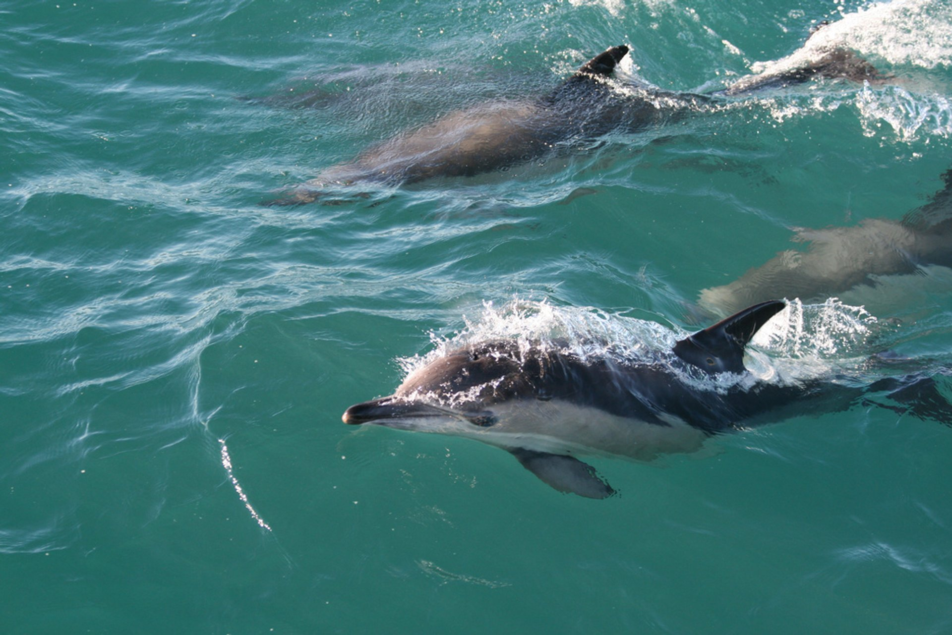 Common Dolphin in Ireland 2020 - Best Time