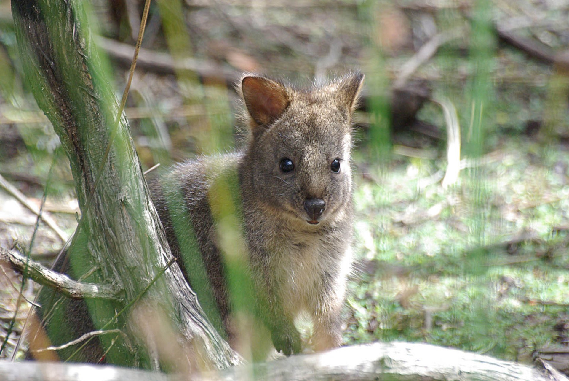 Wallaby by the pond after the rain, Colebrook, Tasmania, Australia 2020