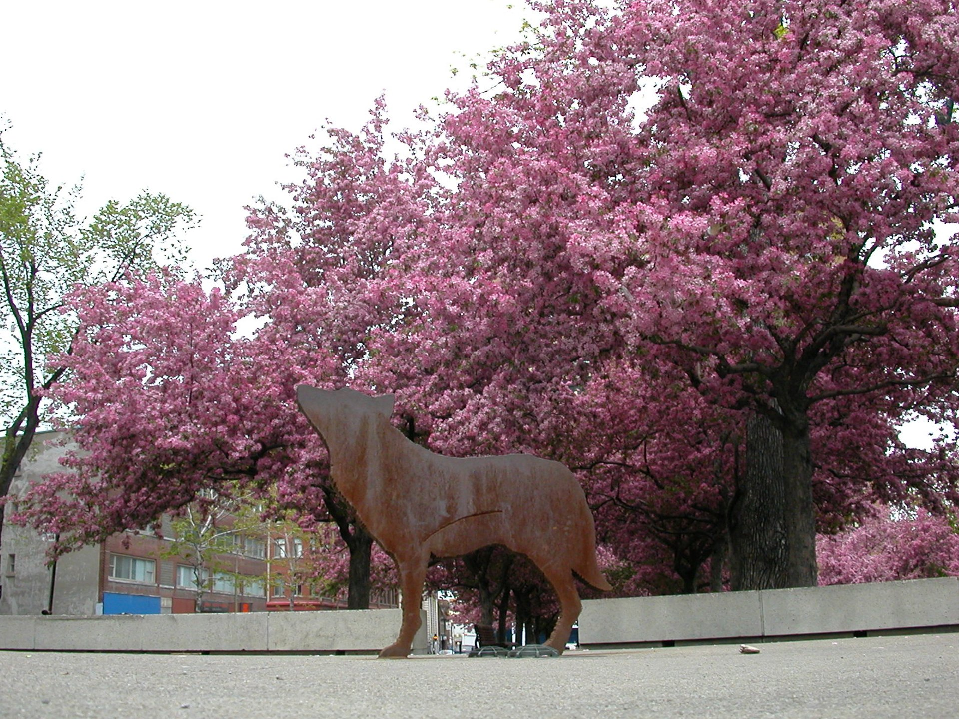 Blossoms in the spring behind a bronze wolf statue around Place des Arts 2020