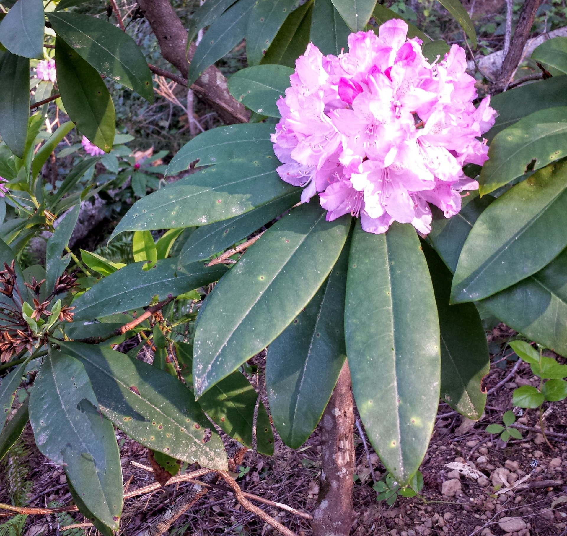 Pacific Rhododendron in Washington - Best Season 2020