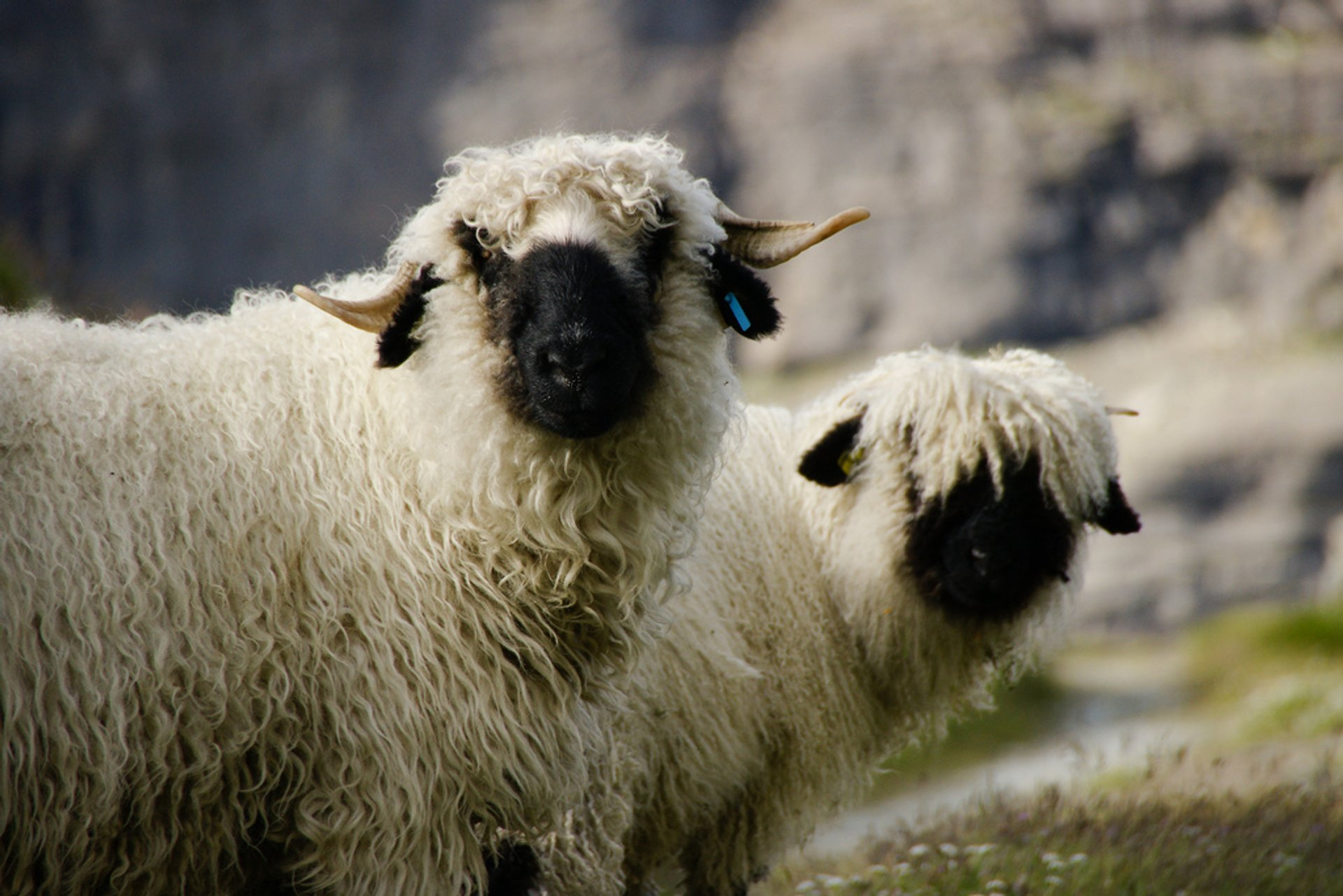 Valais Blacknose Sheep, Zermatt, Switzerland 2020