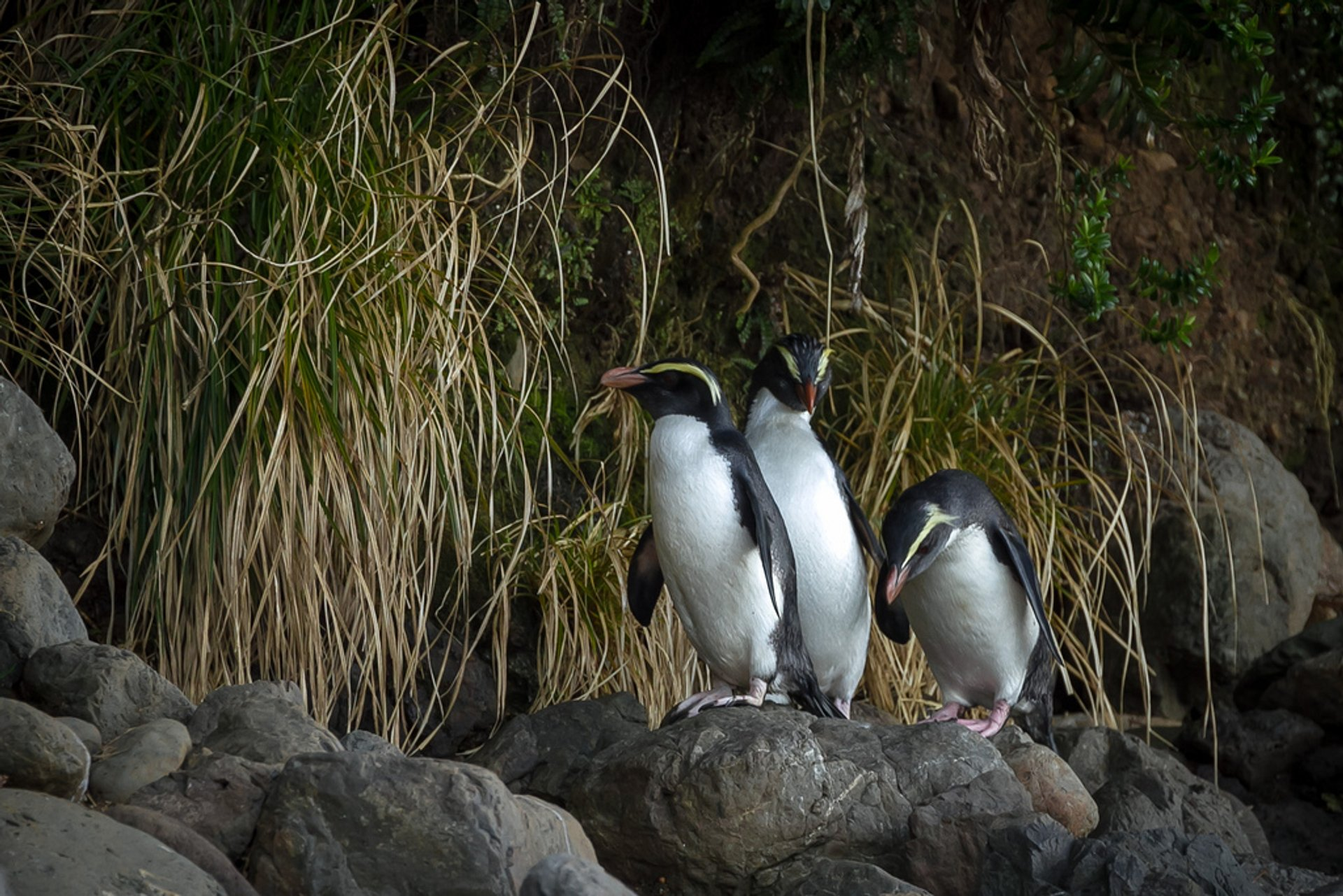 Fiordland Crested Penguin 2020